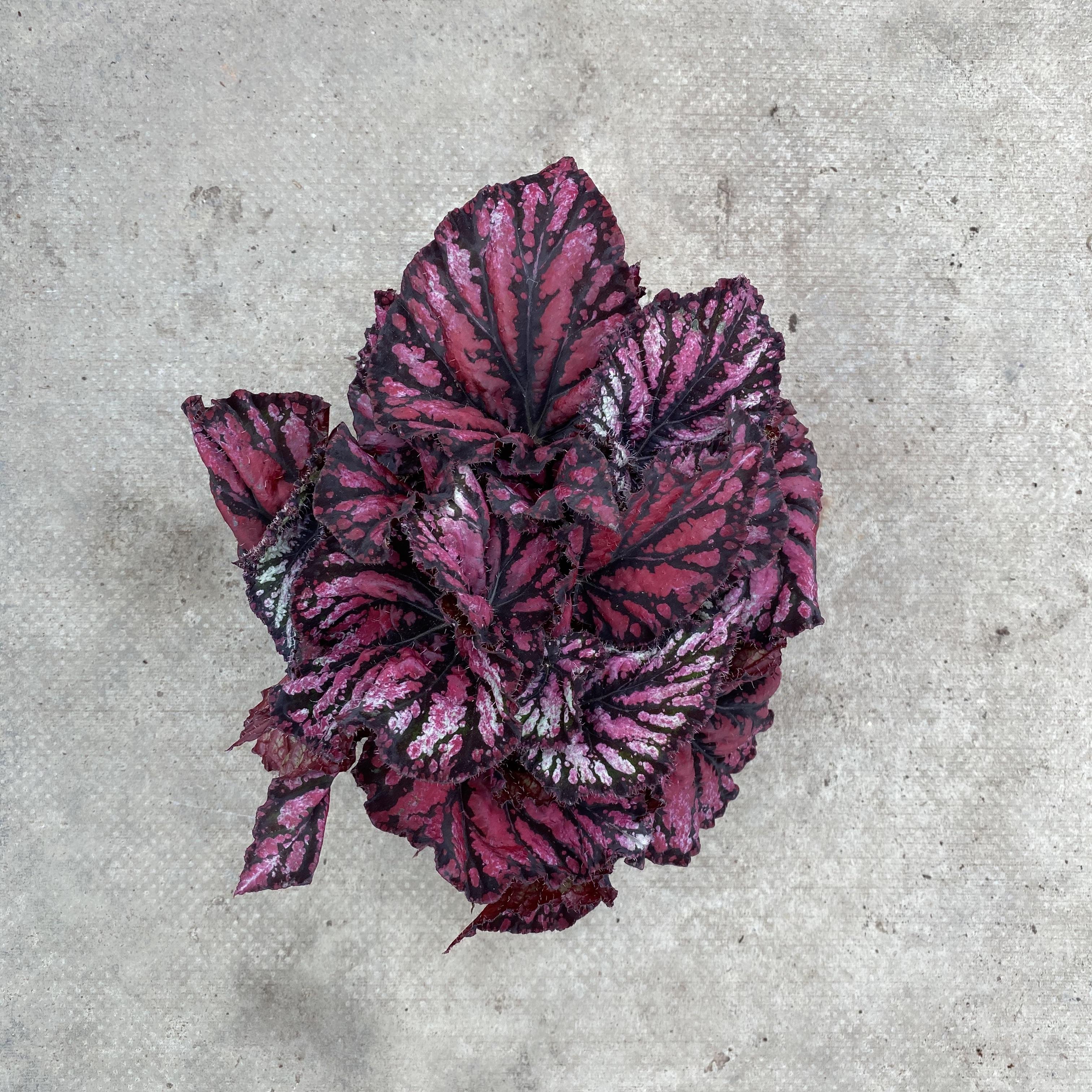 Begonia Rex 'Royal Rubin'