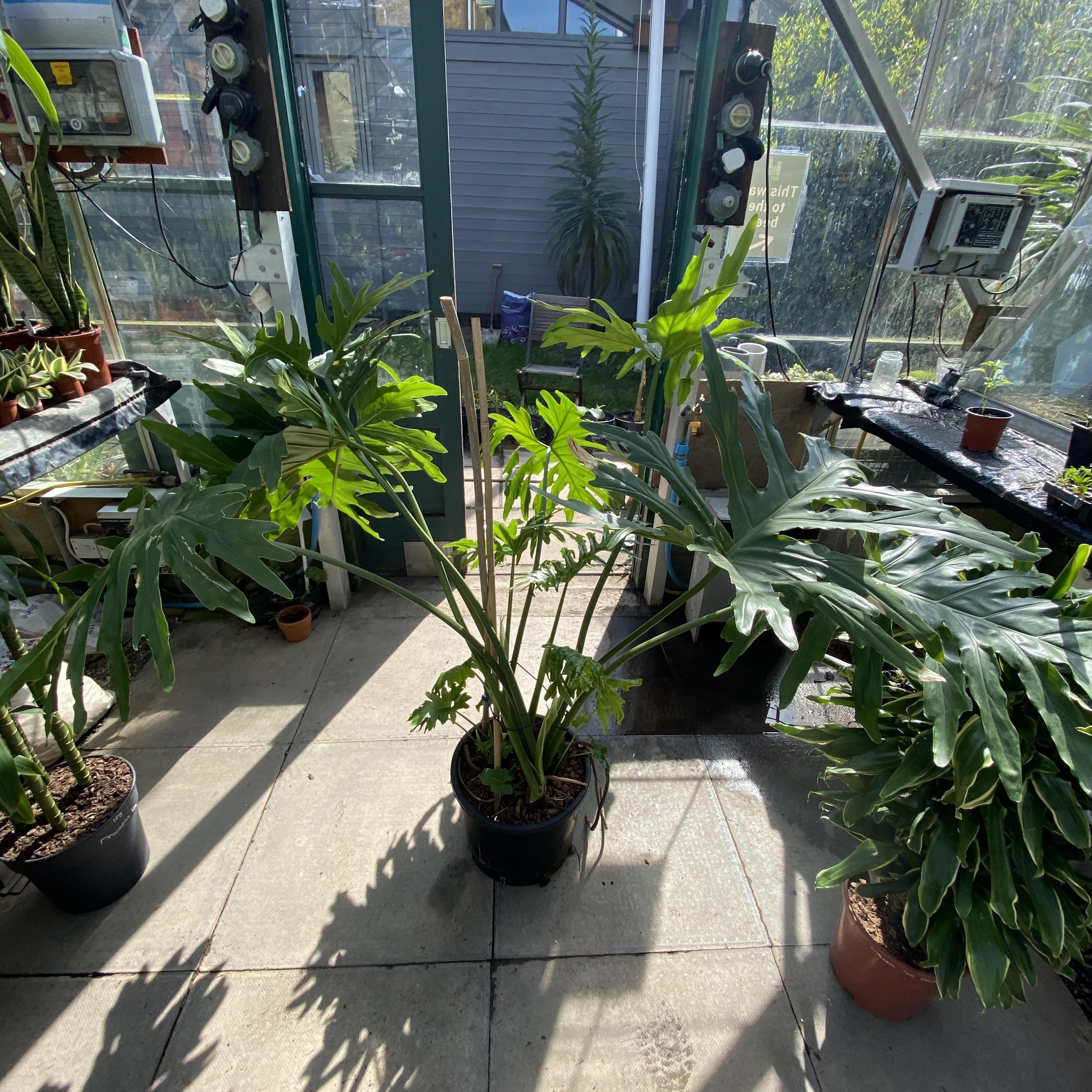 Philodendron bipinnatifidum (Tree Philodendron)