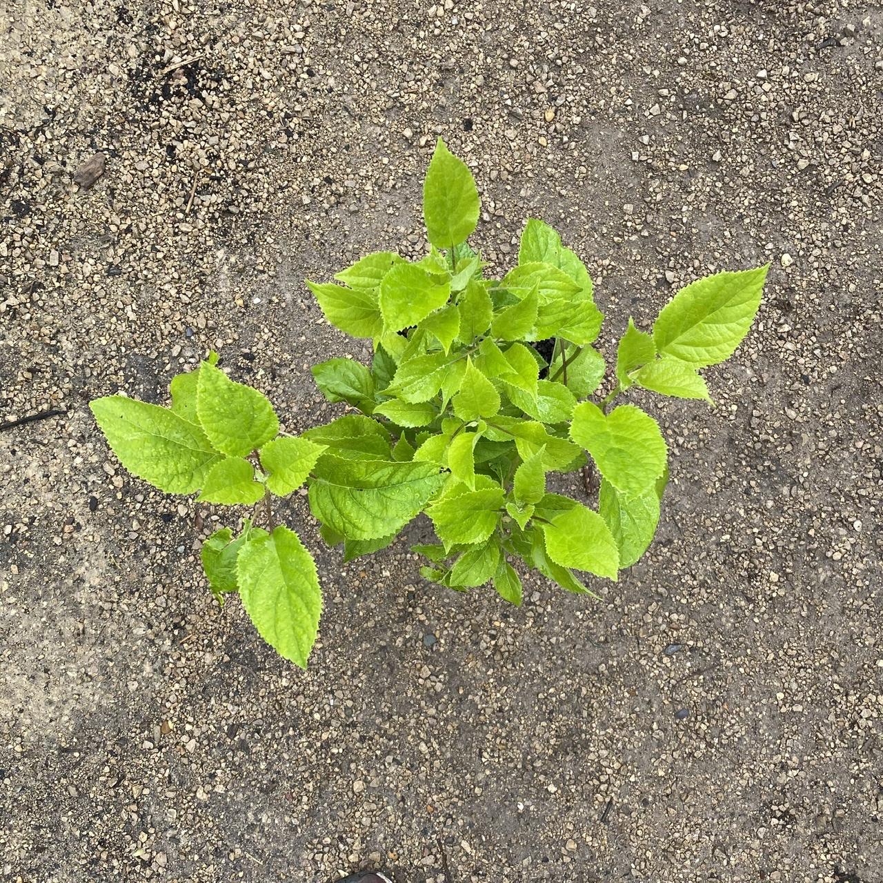 Hydrangea 'Annabelle' (White mop head hydrangea)