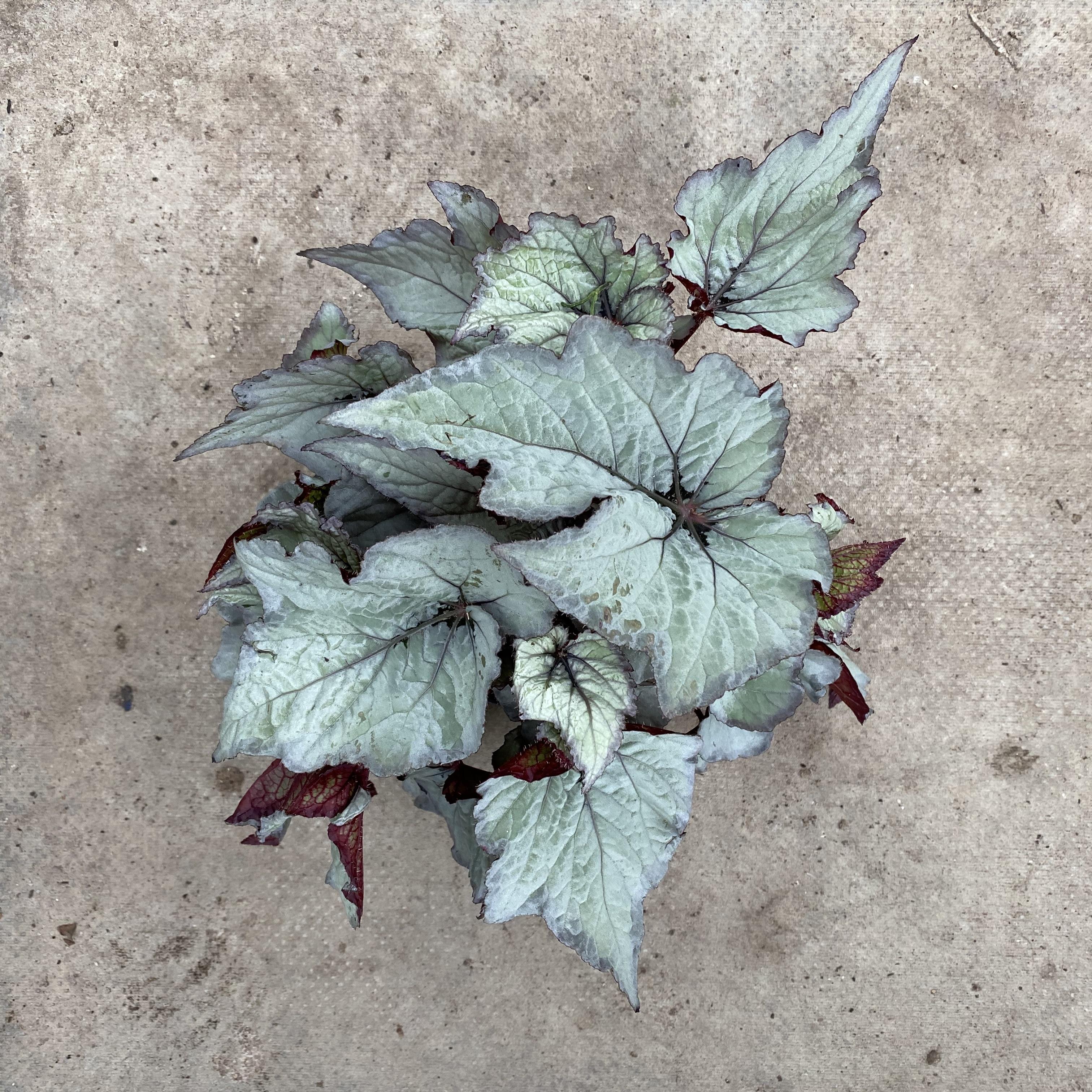 Begonia Rex 'Silver Light'