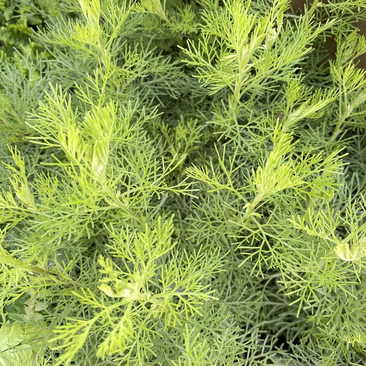 Southernwood (Cola scented)- Artemisia maritima