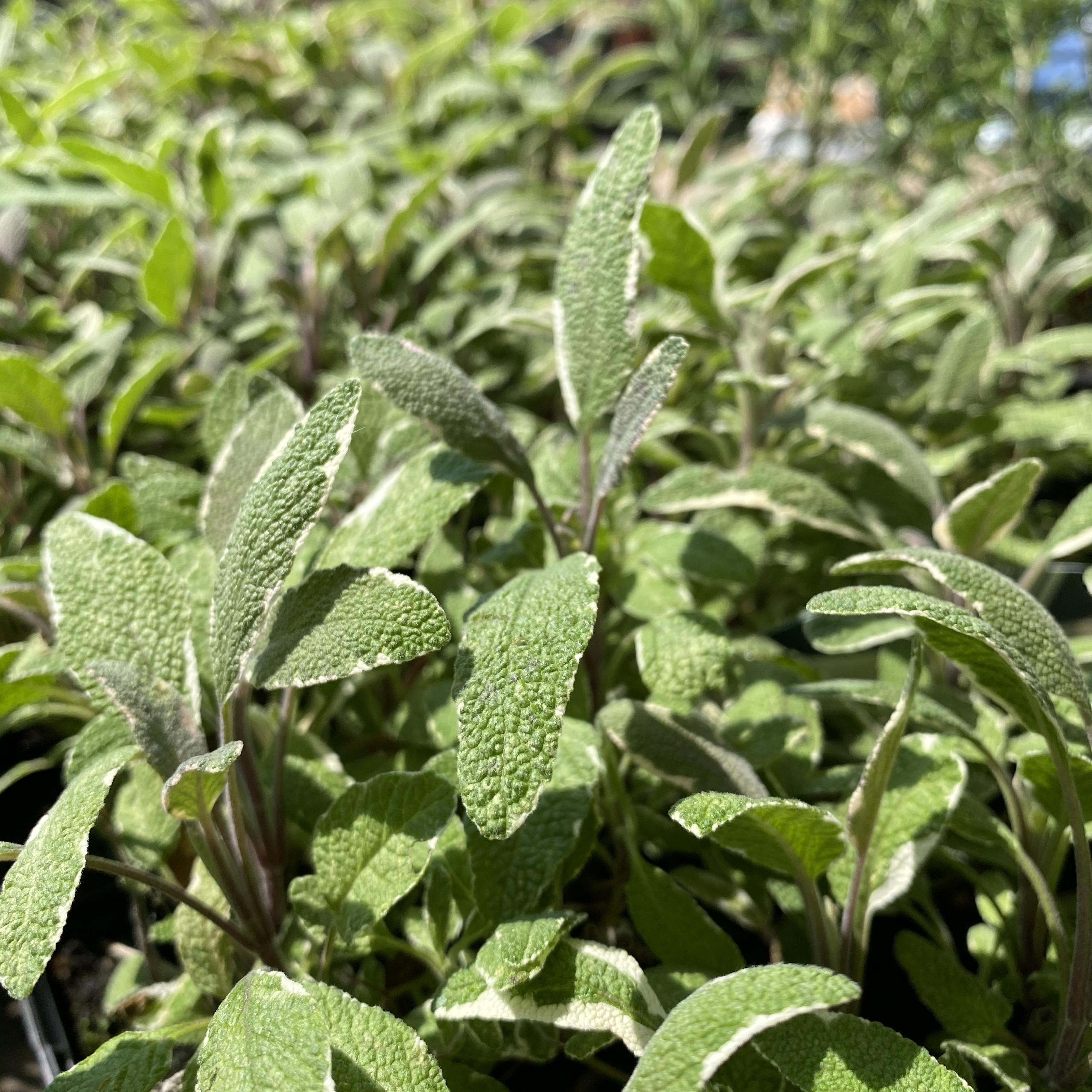 Sage, Tricolour - Salvia officinalis 'Tricolour'