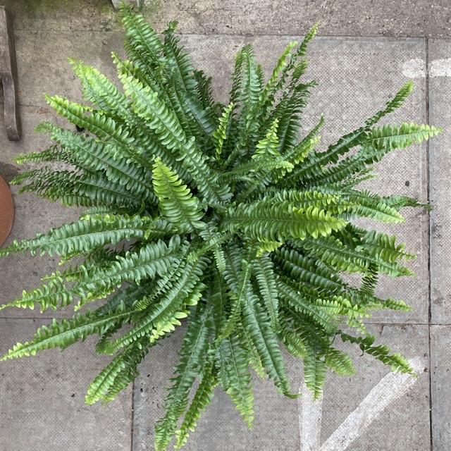 Nephrolepis exaltata 'Green Lady' (Boston fern)