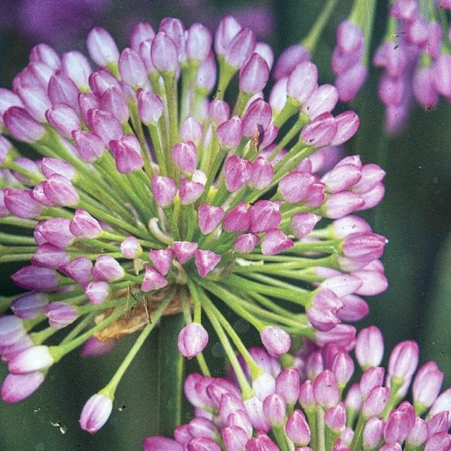 Allium 'Millenium' (Ornamental Allium)