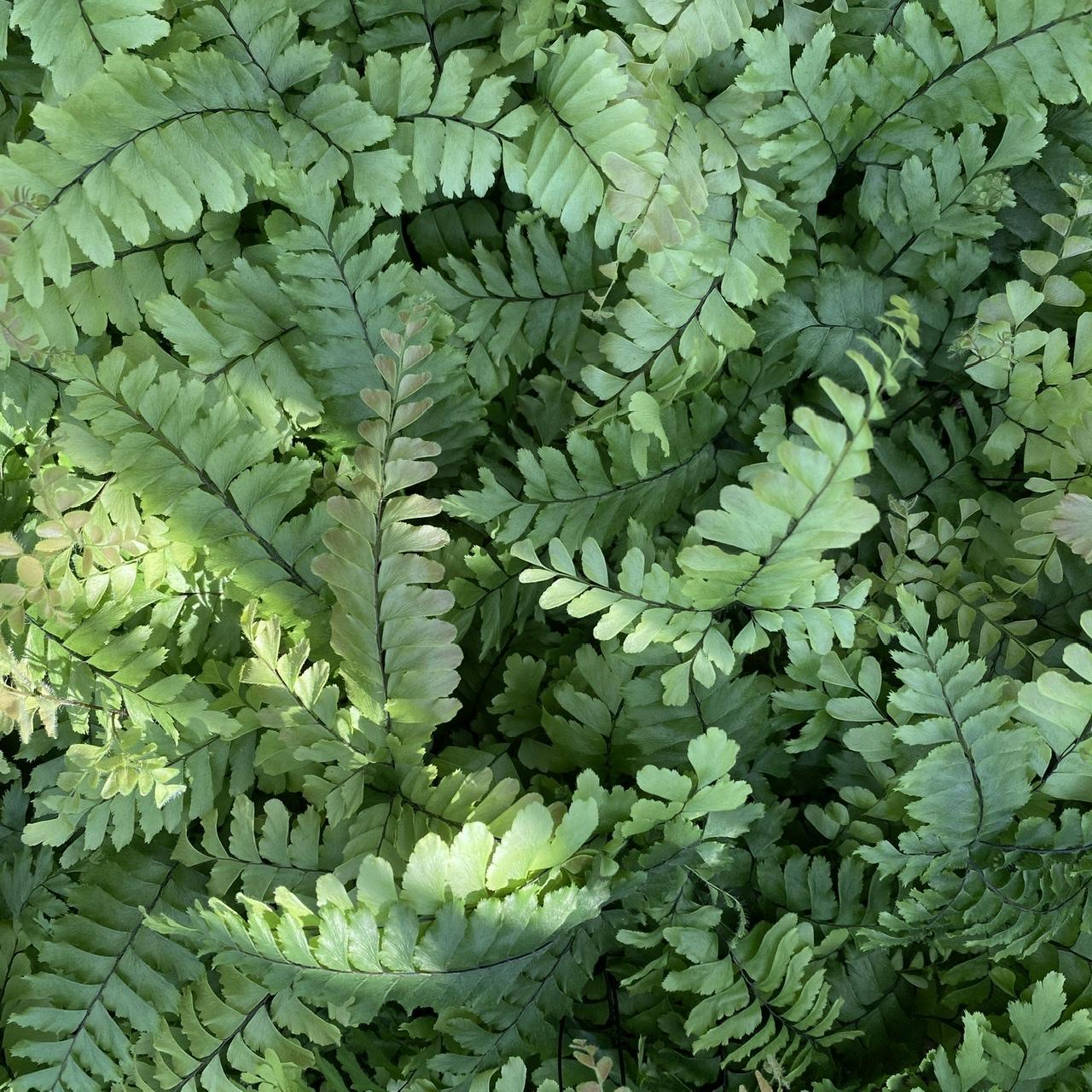 Adiantum hispidulum (Rough Maidenhair Fern)
