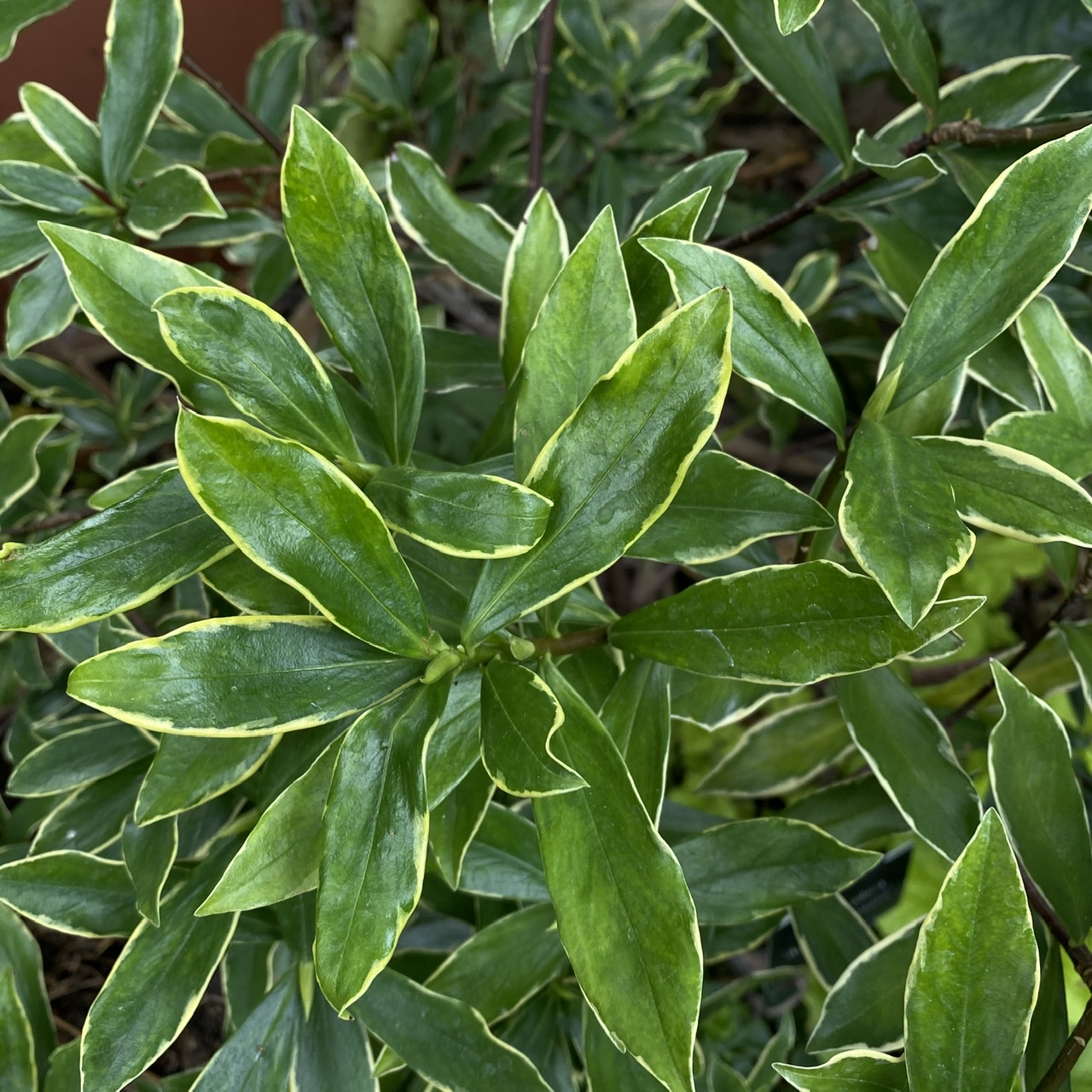 Daphne odora 'Aureomarginata' (Gold Edged Winter Daphne)
