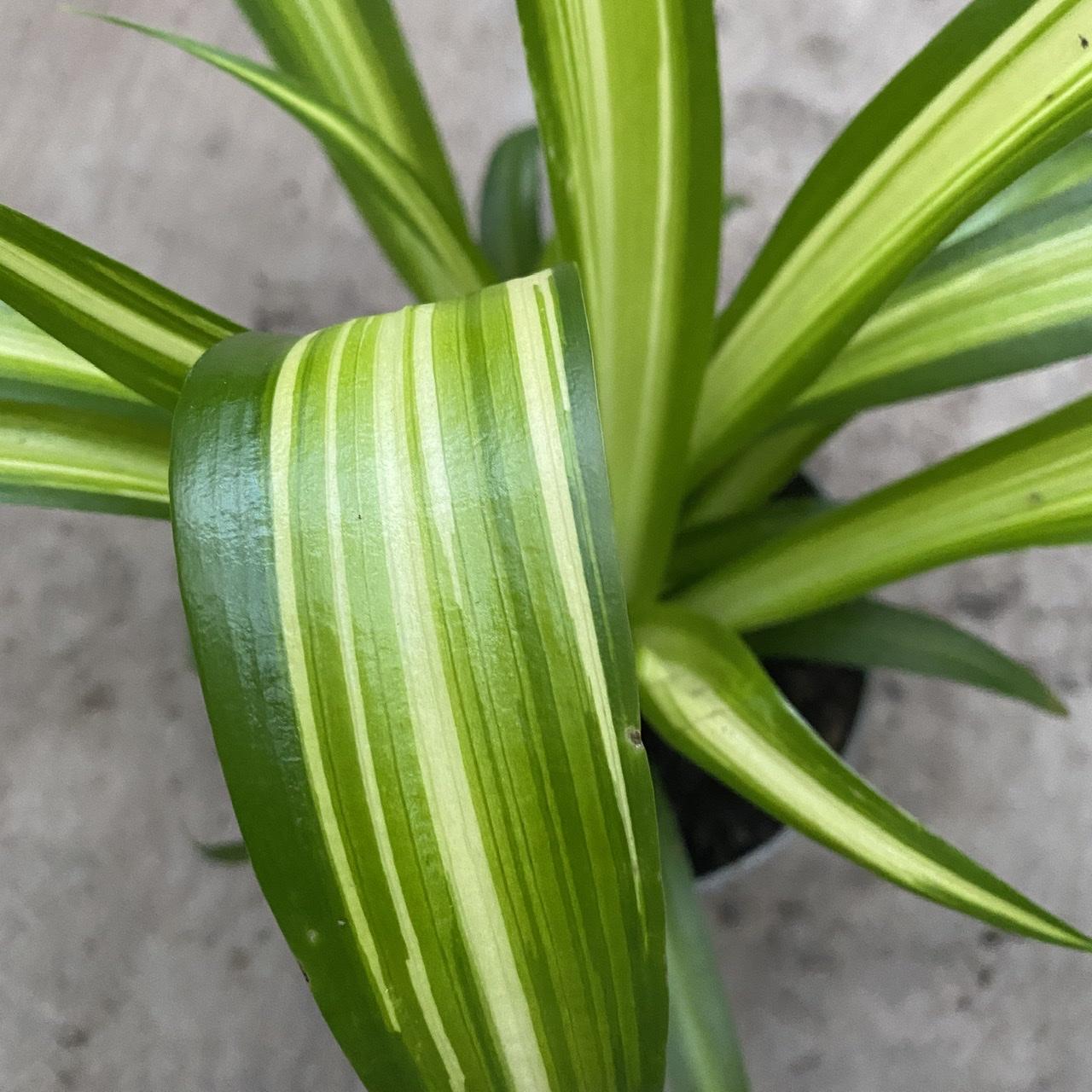 Chlorophytum comosum 'Hawaiian' (Hawaiian Spider Plant)
