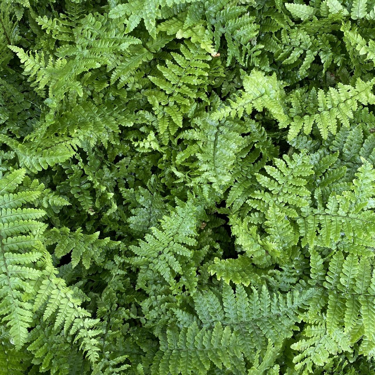 Dryopteris affinis 'Crispa' (Dwarf Evergreen Scaled Fern)