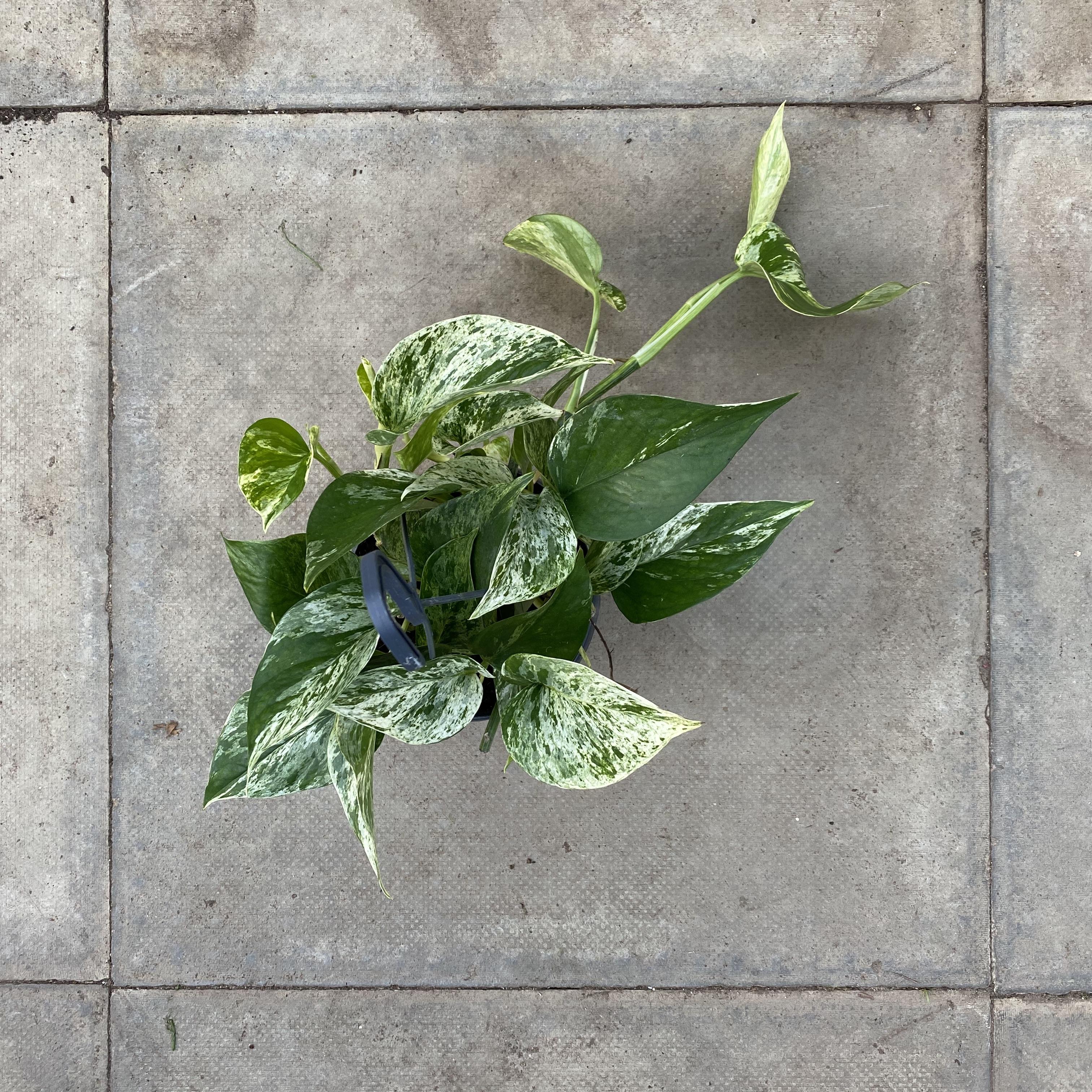 Epipremnum pinnatum 'Marble Queen' (Marble Queen Pothos)