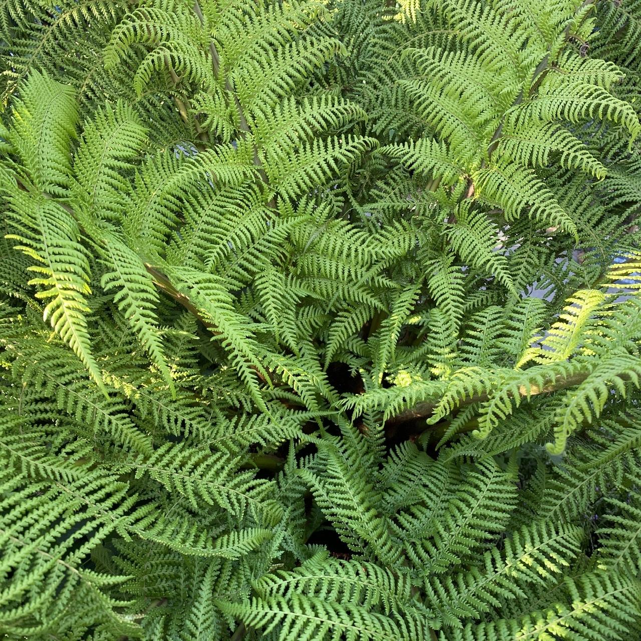 Dicksonia antarctica (Tree Fern)