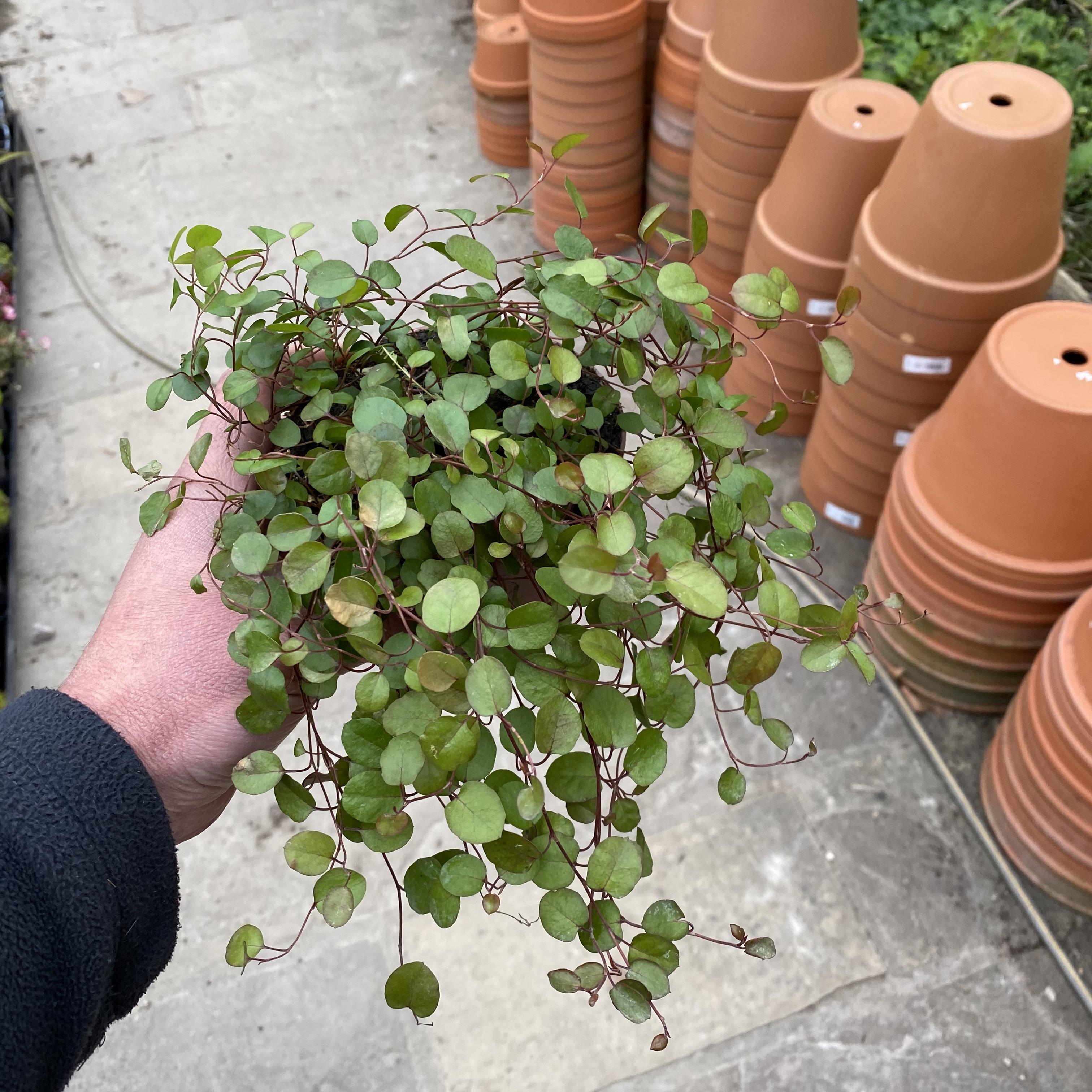 Muehlenbeckia complexa (Maidenhair vine)