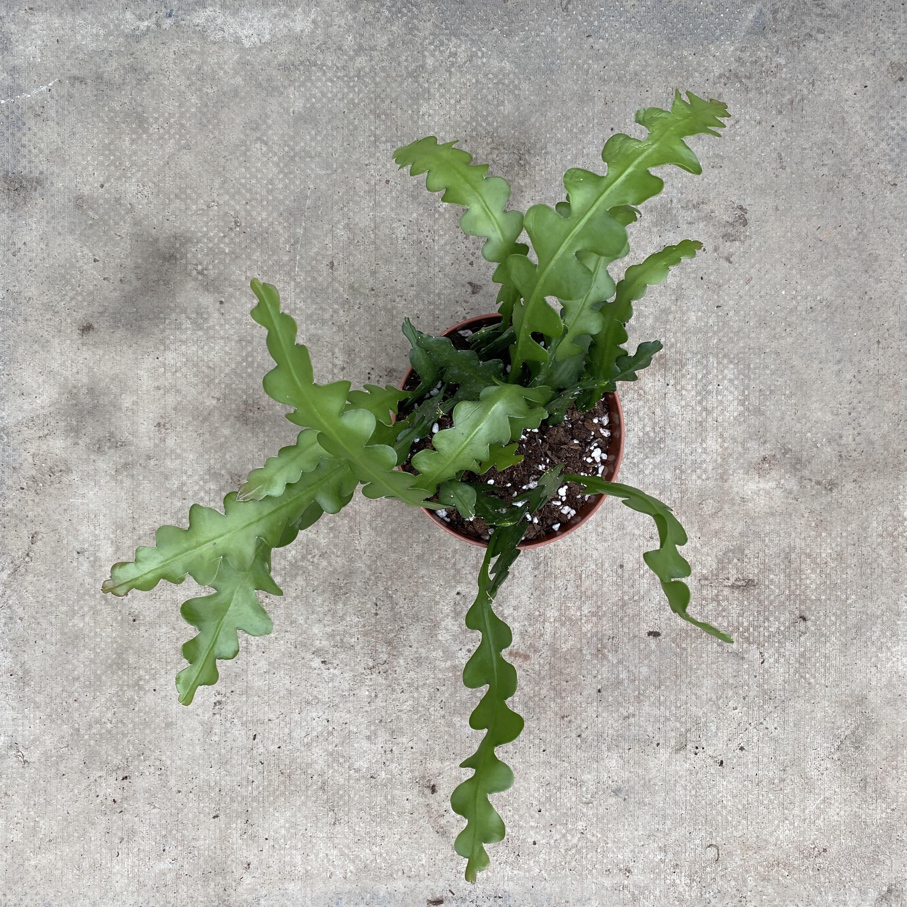 Epiphyllum angulliger (Fishbone Cactus)