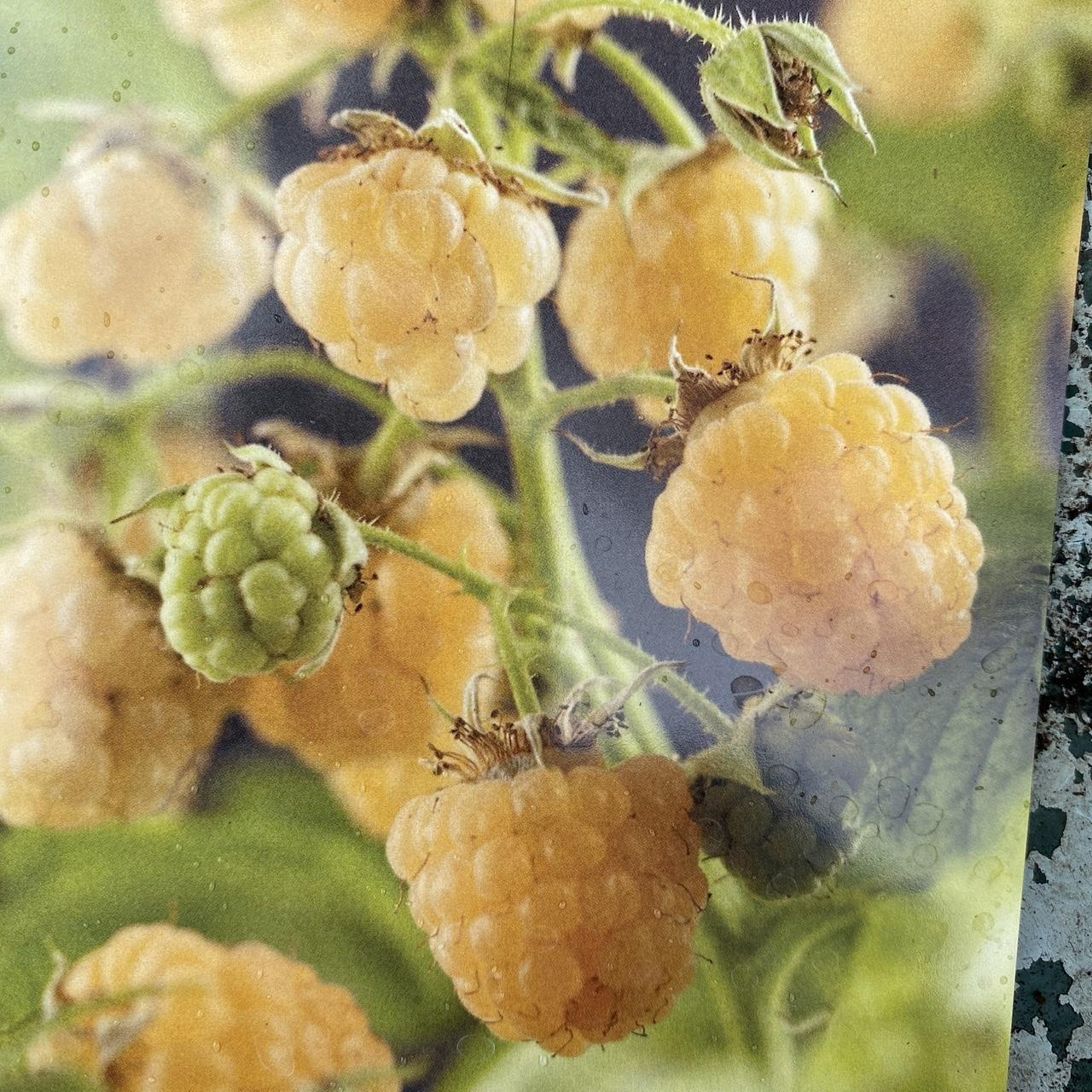 Raspberry 'Fallgold'