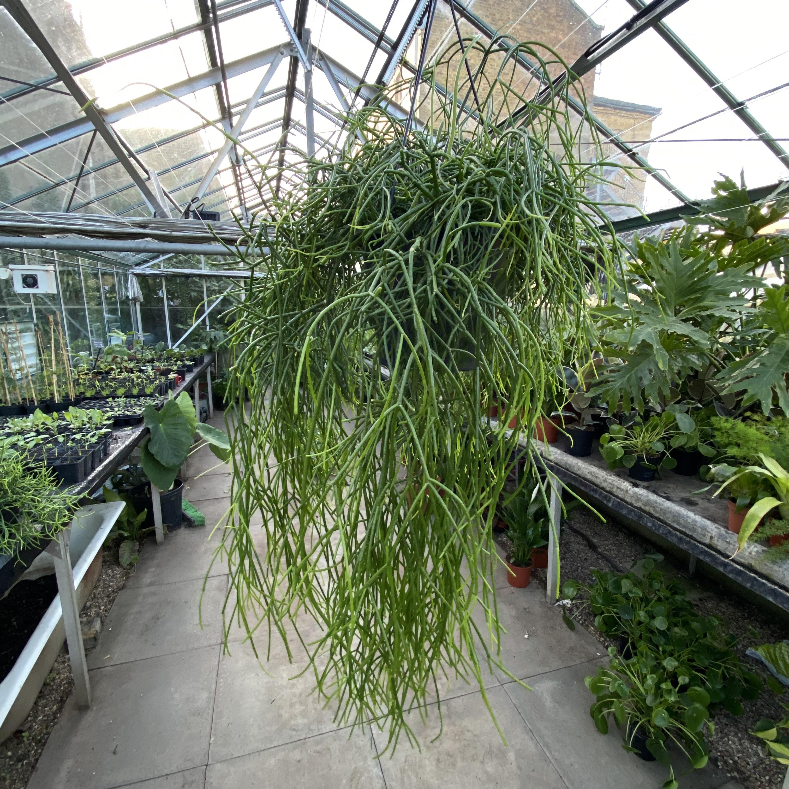 Rhipsalis (Mistletoe Cactus)