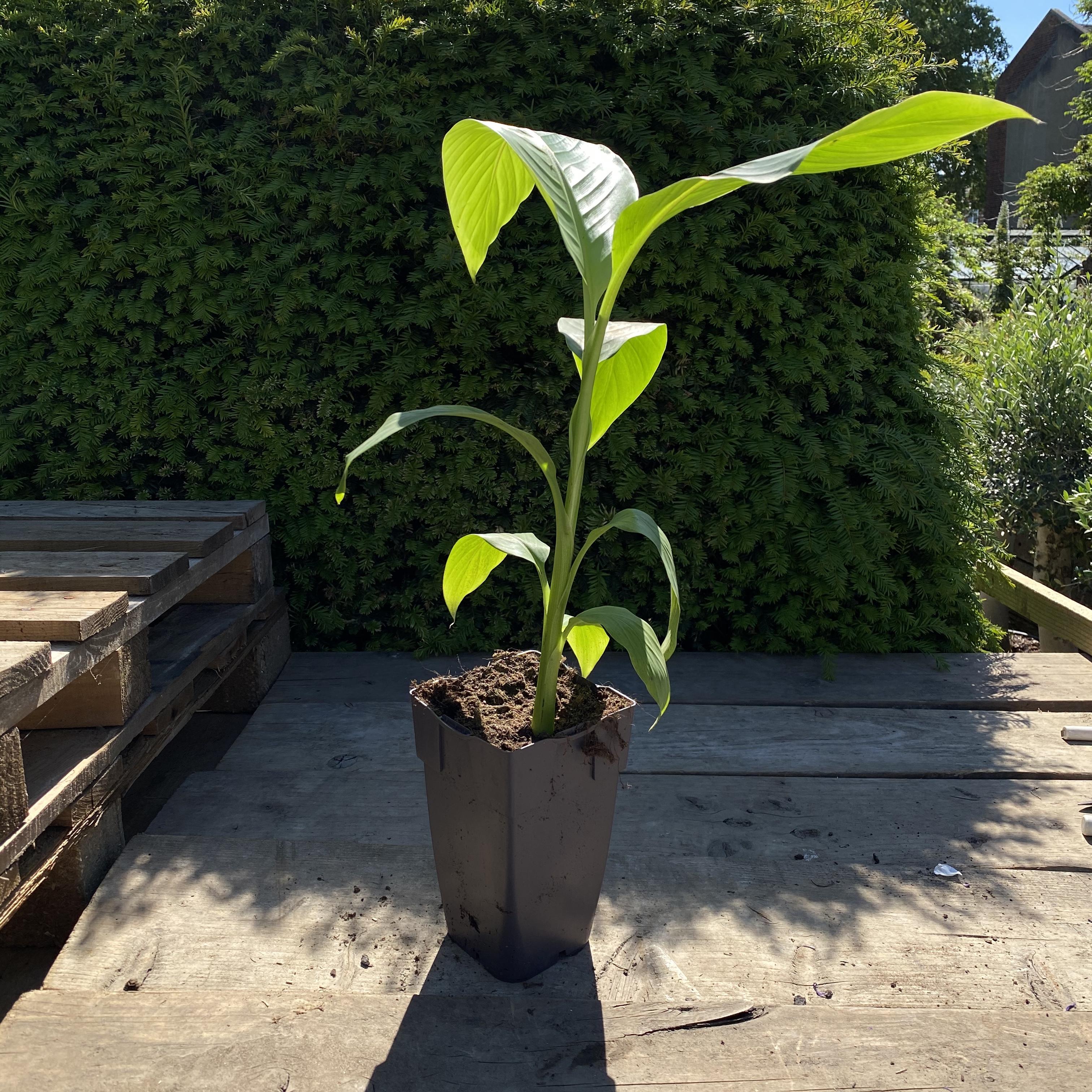 Musa basjoo (Root Hardy Banana)