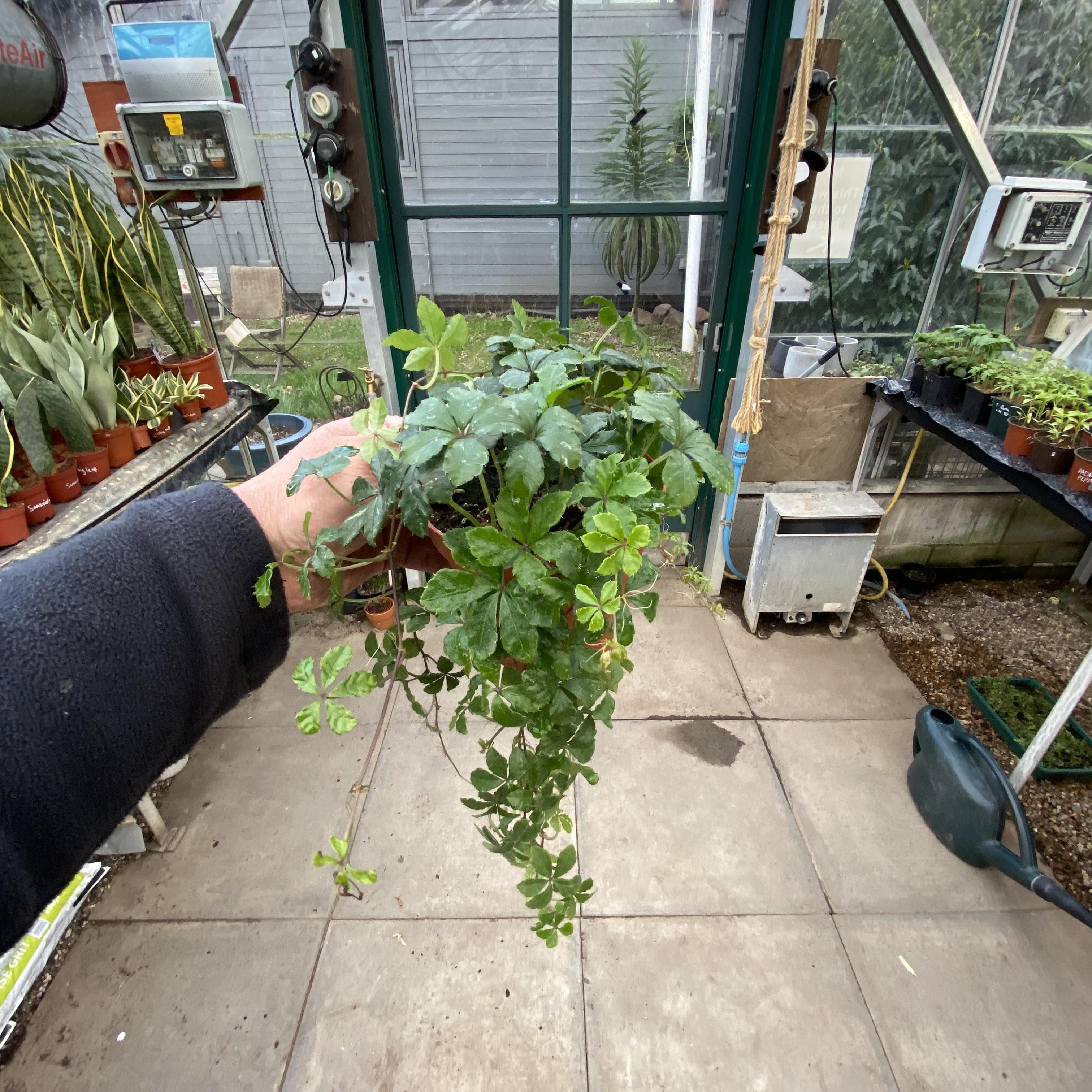 Cissus striata (Ivy of Uruguay)