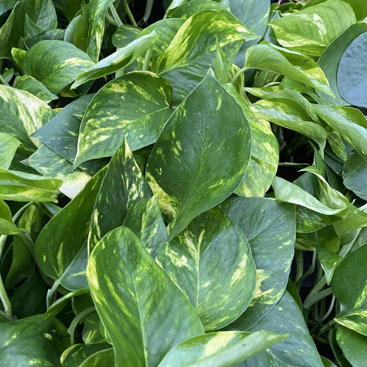 Epipremnum pinnatum 'Aureum' (Devil's Ivy) 3 Sizes