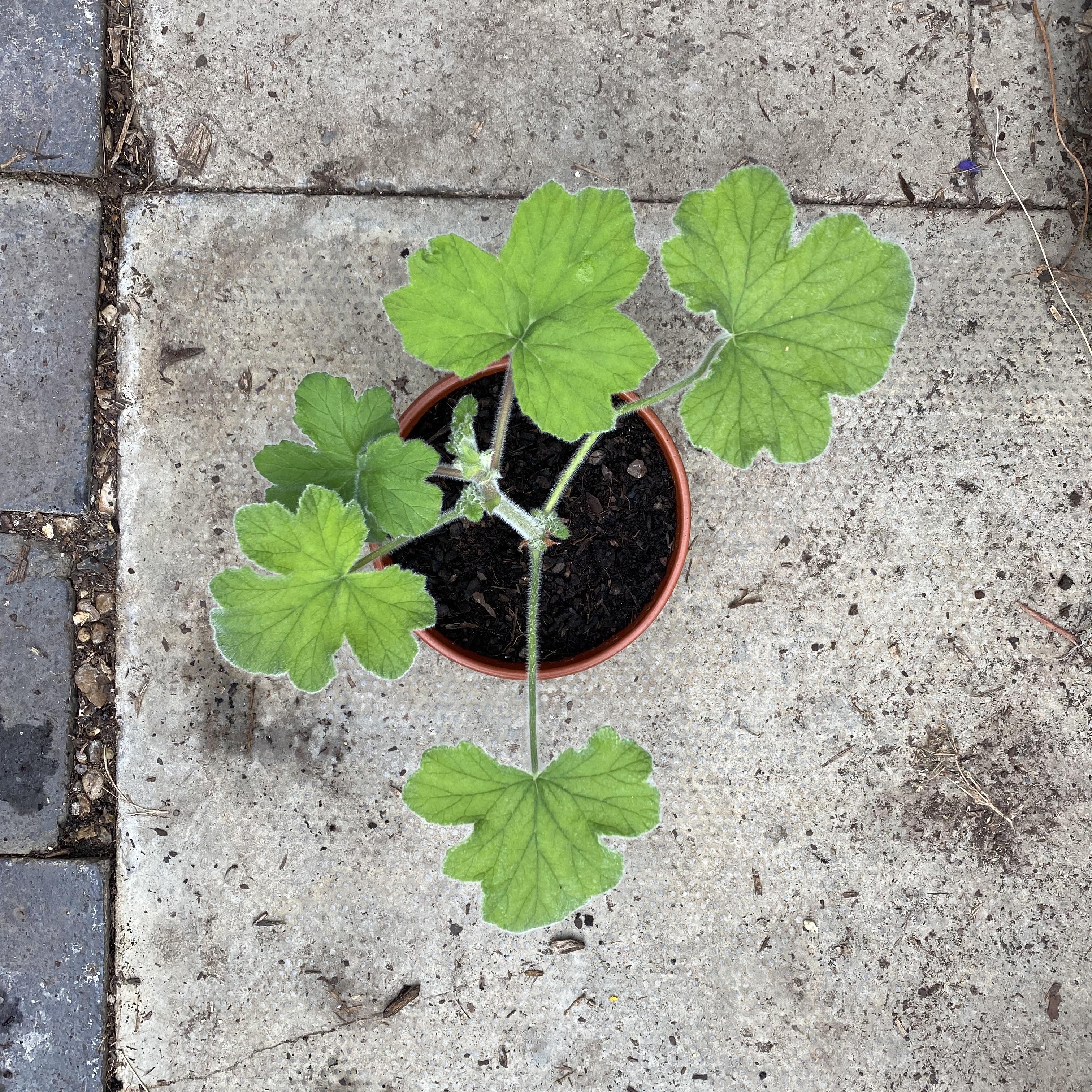 Pelargonium tormentosum (Peppermint scented geranium)