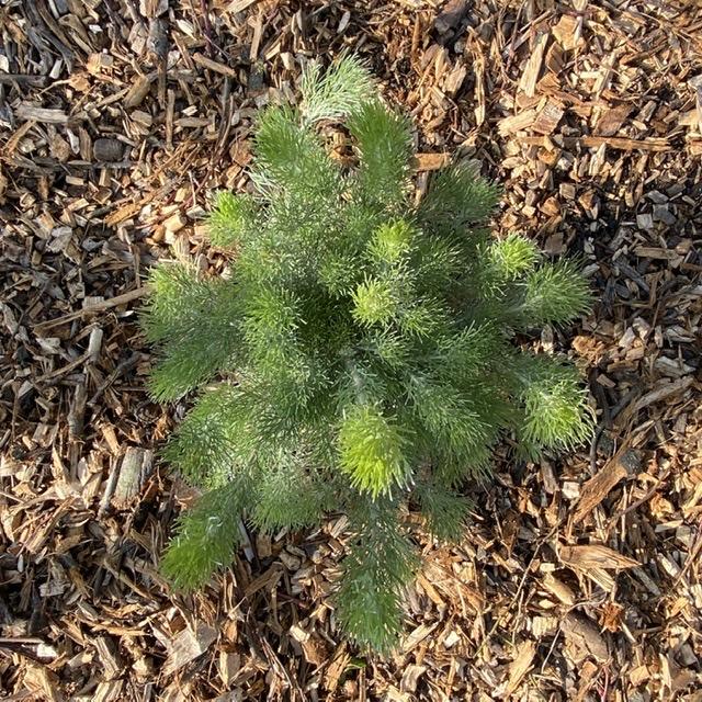 Adenanthos sericeus (Wooly Bush)