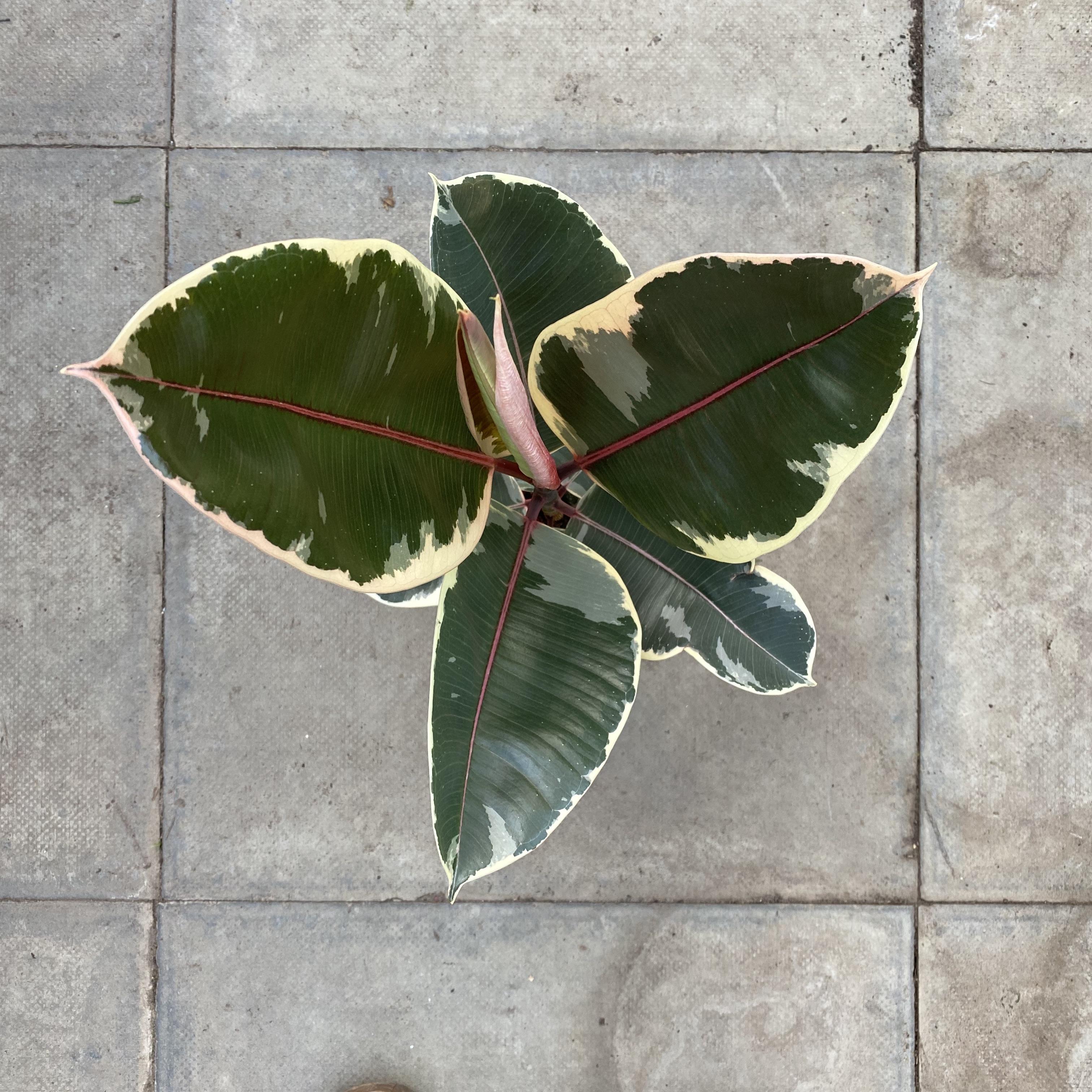 Ficus elastica 'Tineke' (Variegated Rubber Plant) 4 Sizes