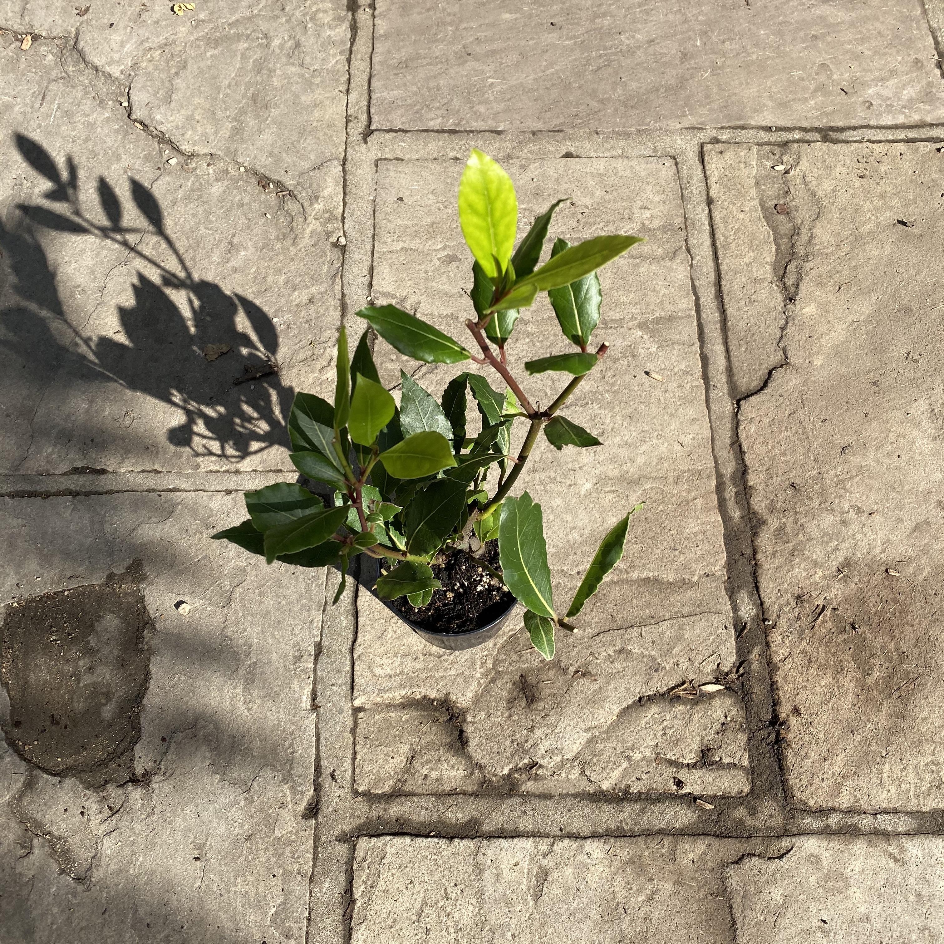 Bay Tree bush - Laurus nobilis