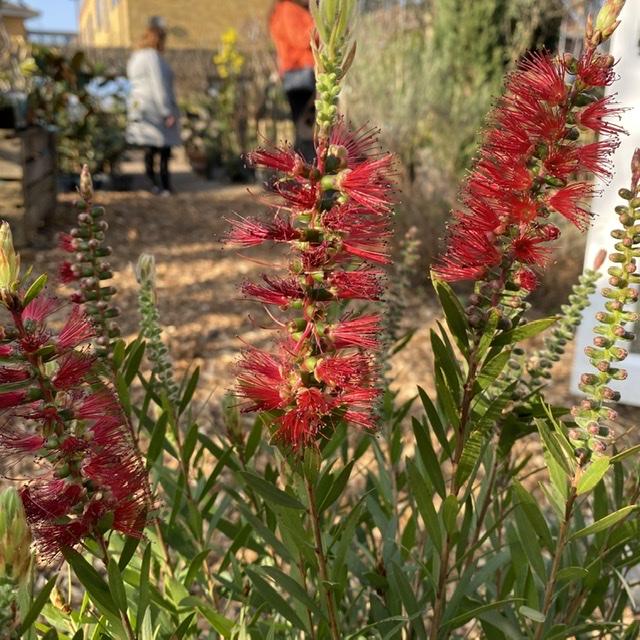 Callistemon laevis (Crimson/Scarlet Bottlebrush)