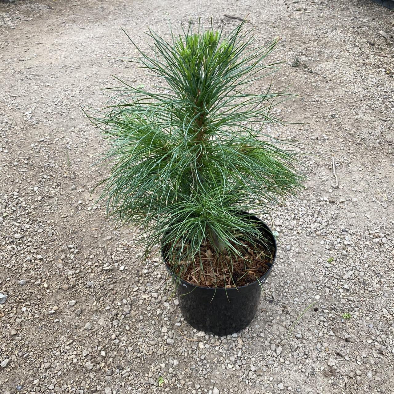 Pinus wallichiana (Bhutan Pine)