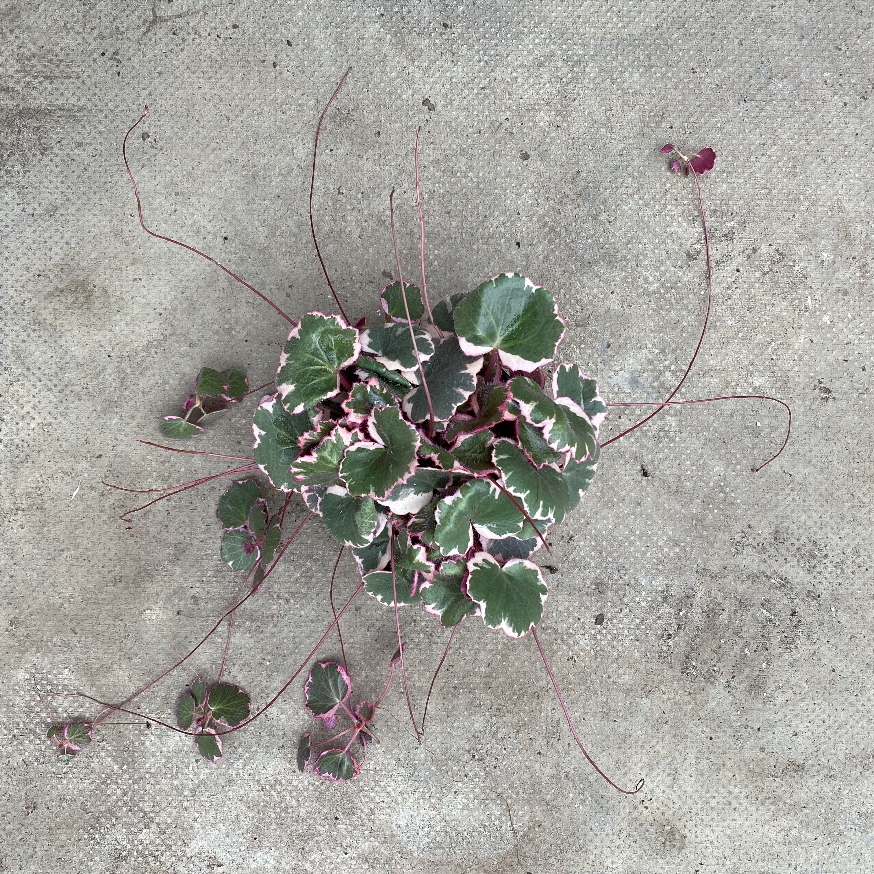 Saxifraga Stolonifera 'Tricolor' (Strawberry Begonia)