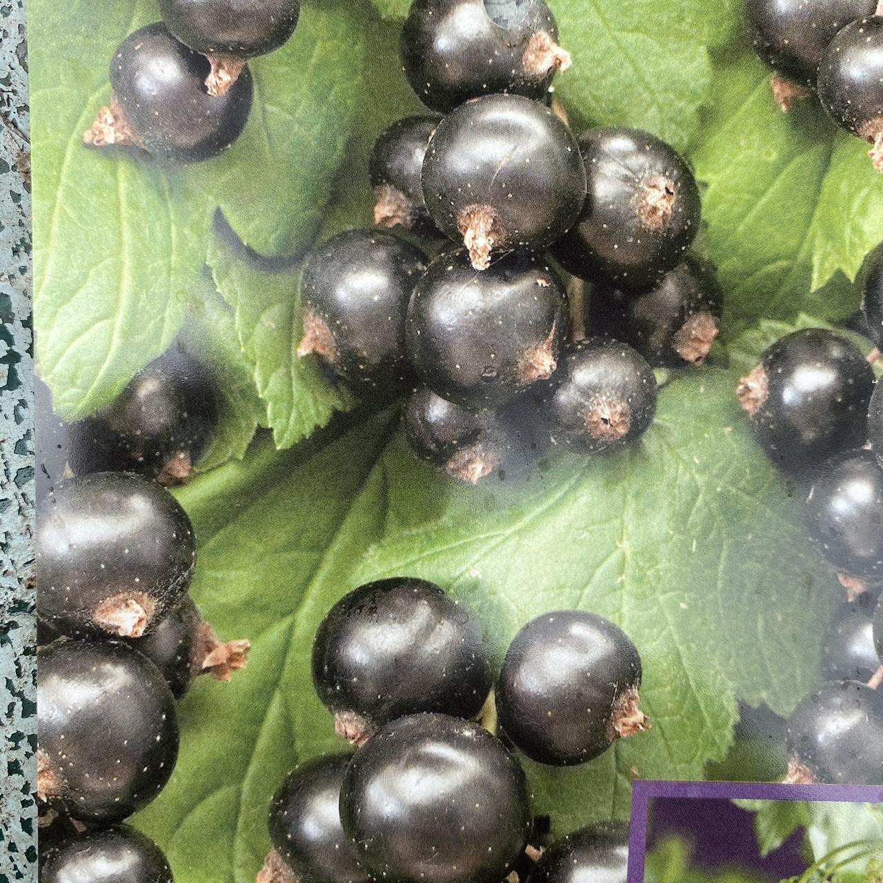 Ribes nigrum 'Ben Nevis' (Black Currant 'Ben Nevis')