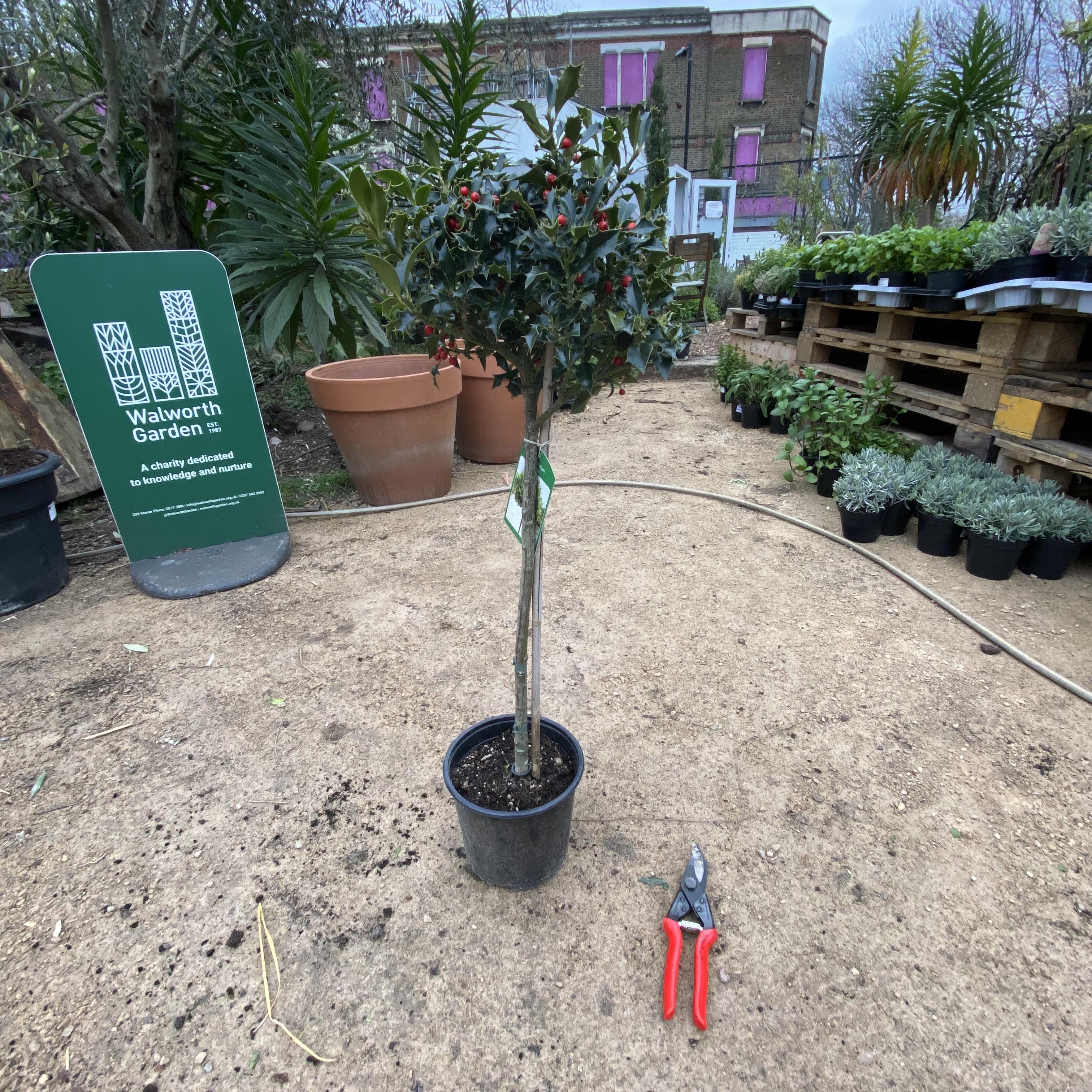 Ilex aquifolium (Holly) ¼ Standard