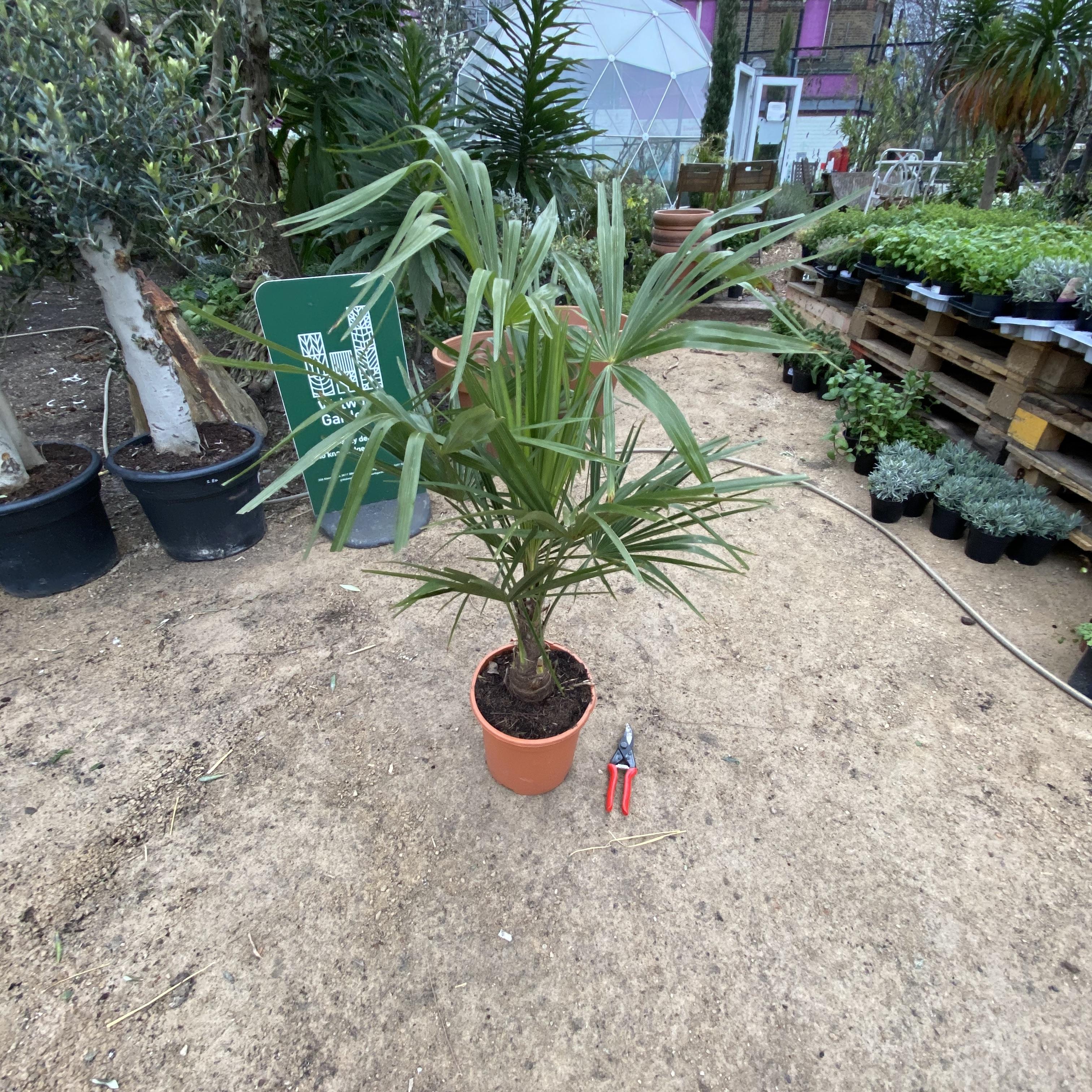 Trachycarpus fortunei (Chusan Palm) 2 Sizes
