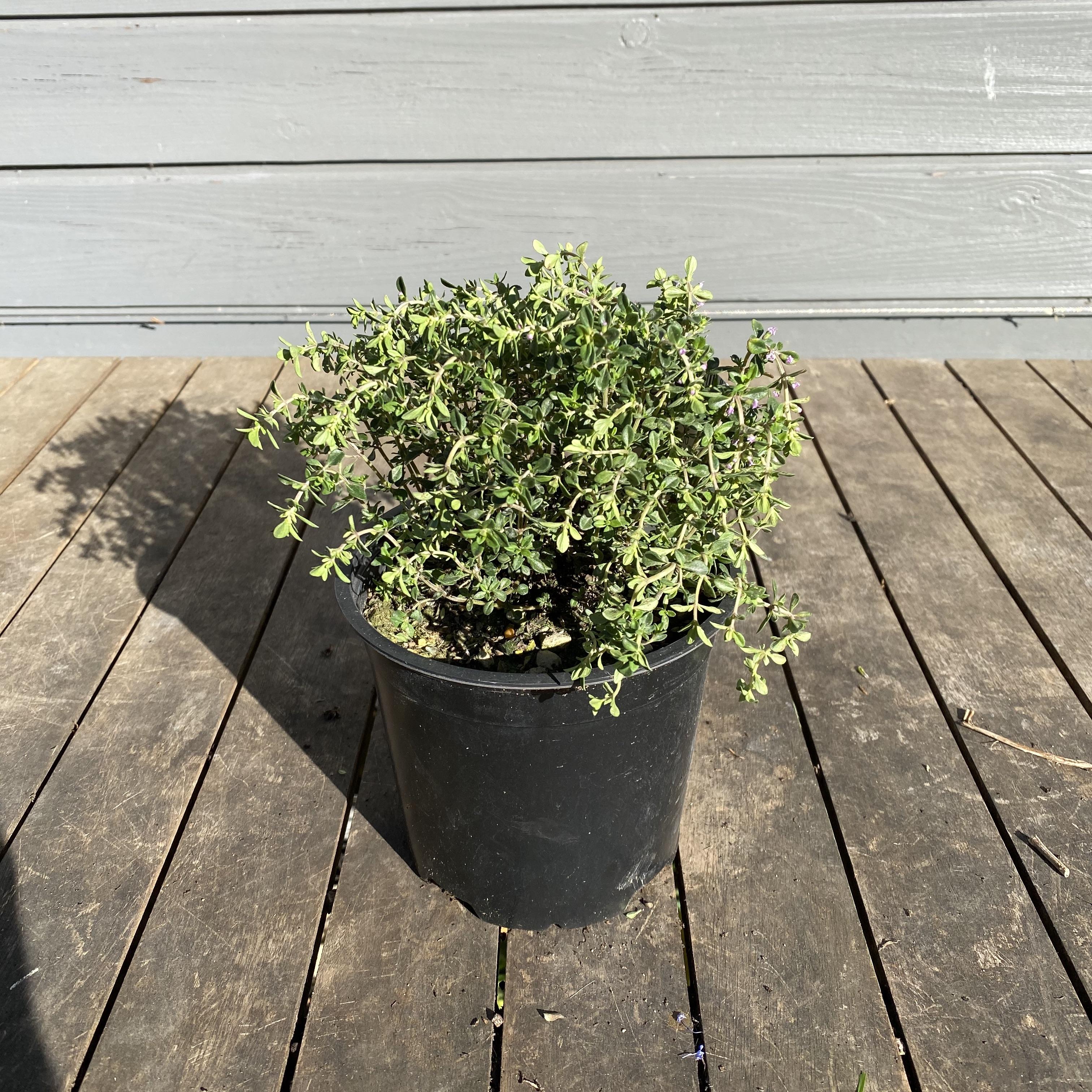 Thyme, Lemon scented - Thymus citriodorus