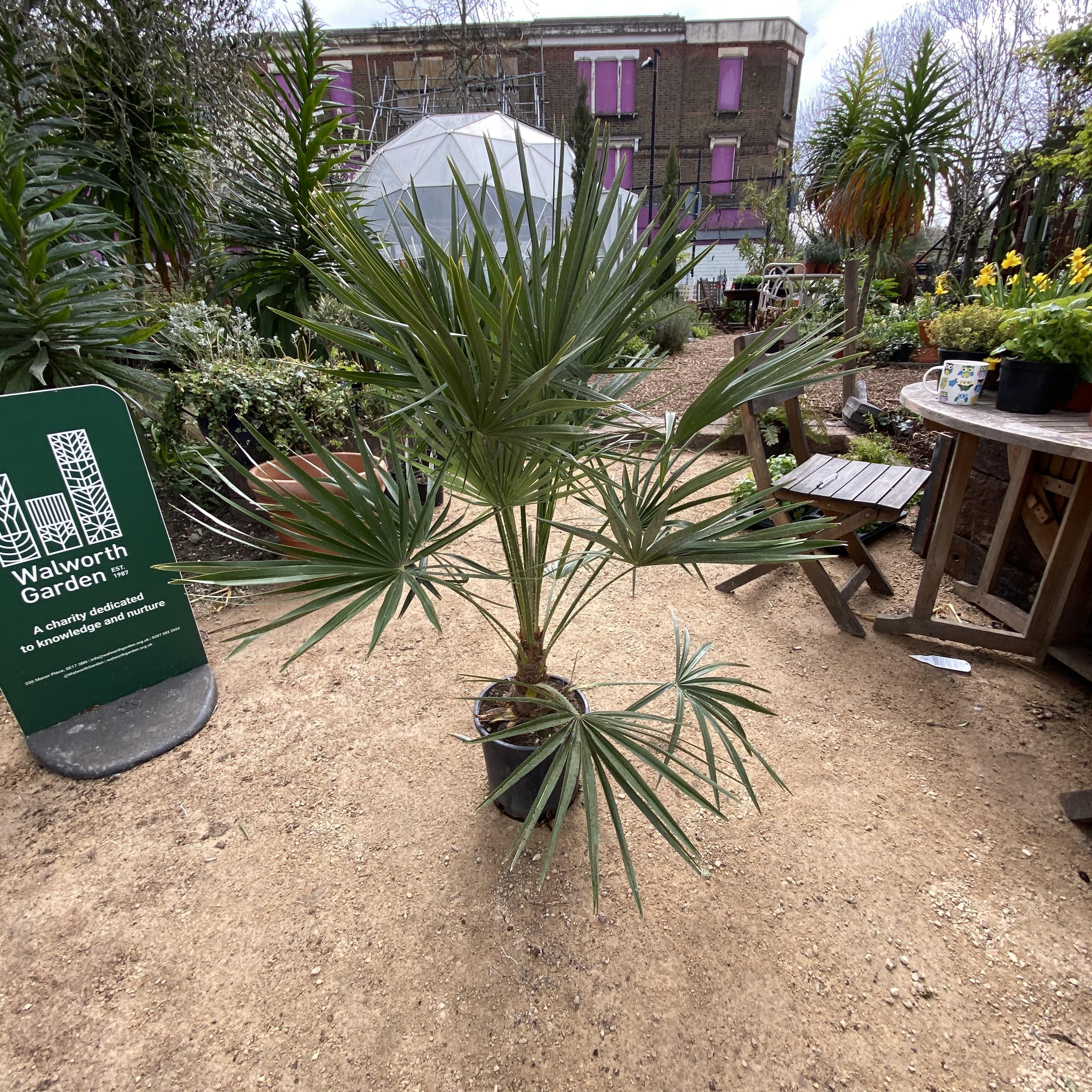 Chamaerops humilis (Dwarf Fan Palm) 4 Sizes