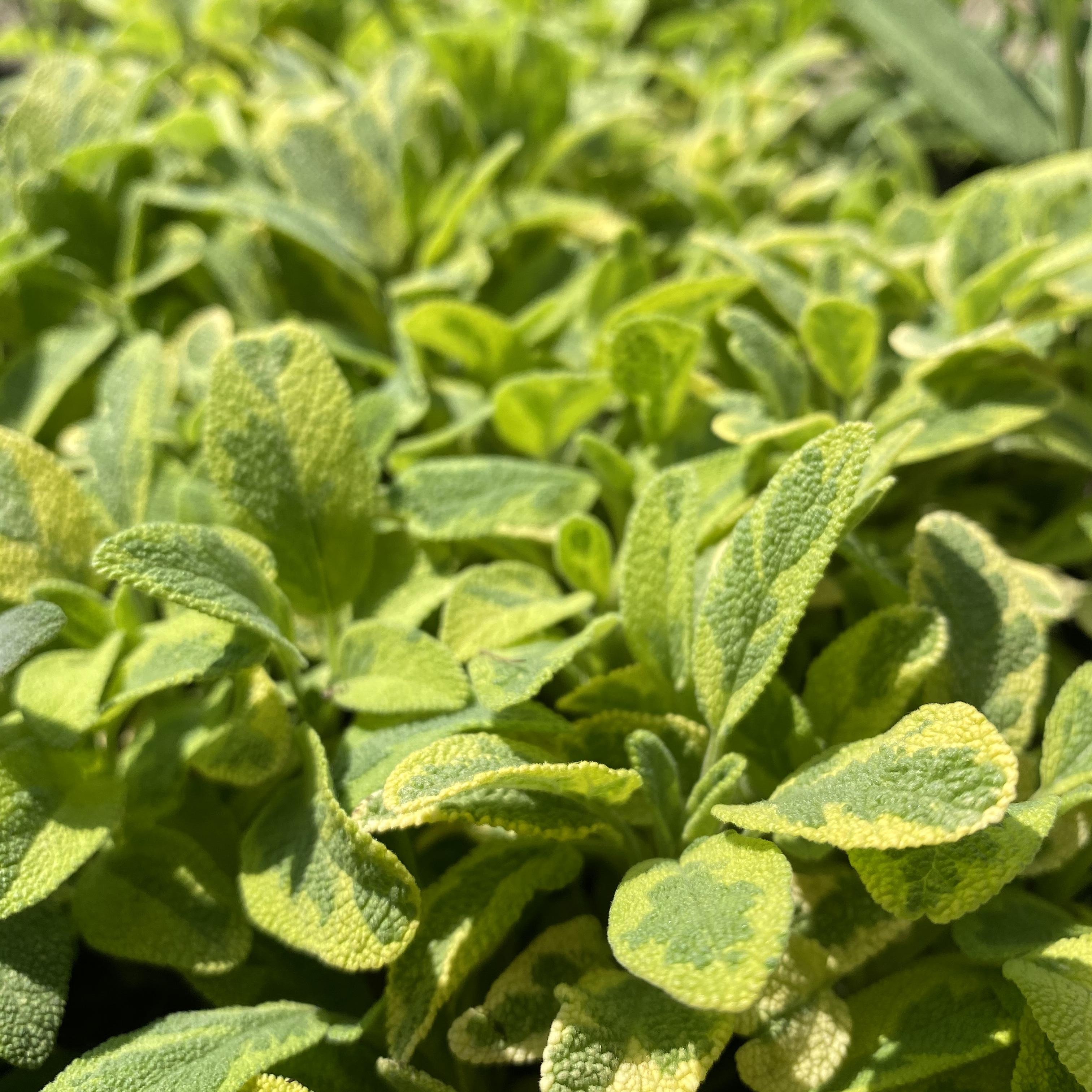 Sage, Golden - Salvia officinalis 'Icterina'
