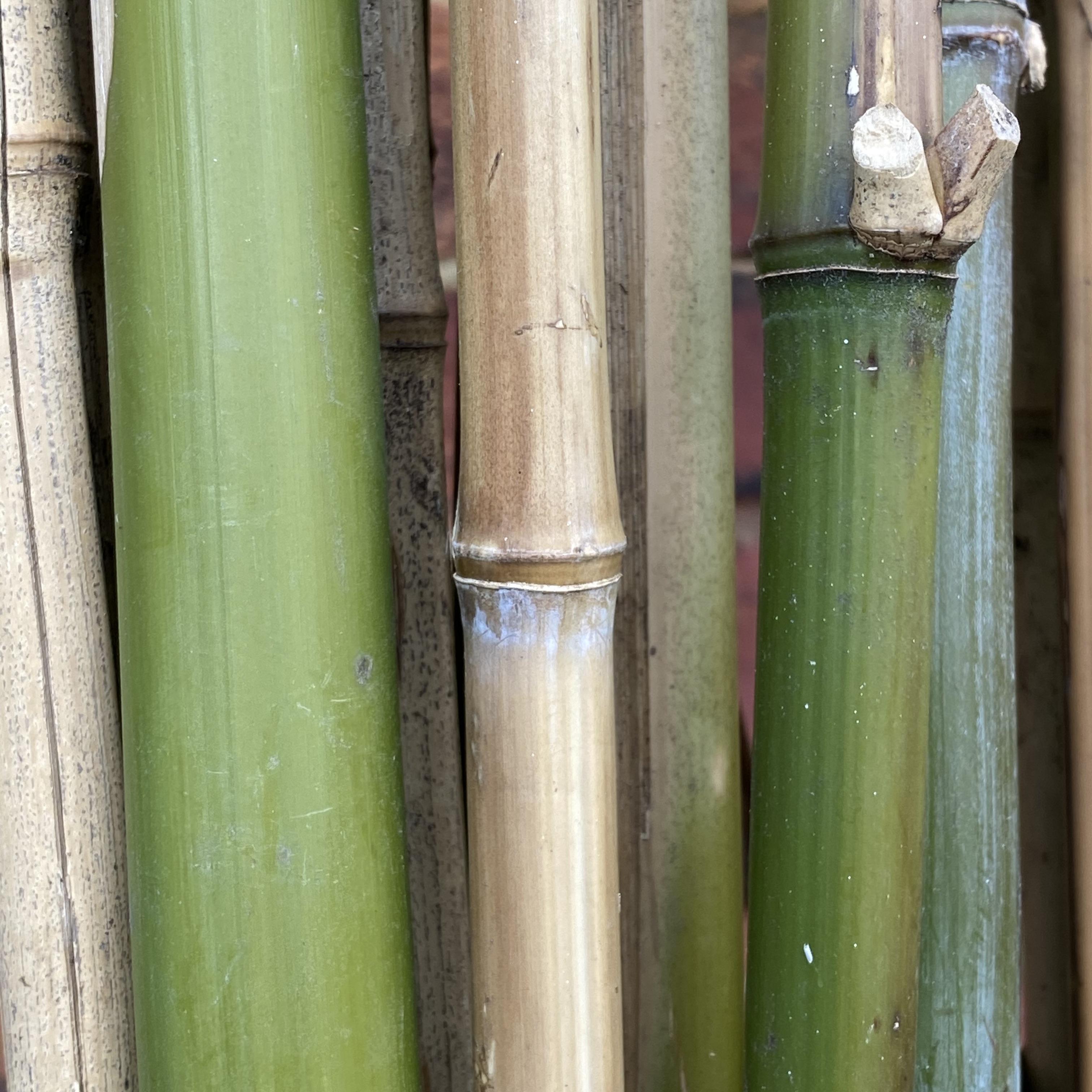 London Grown Bamboo Cane