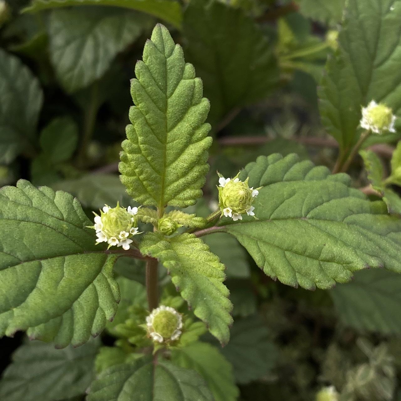 Aztec Sweet Herb - Lippia dulcis