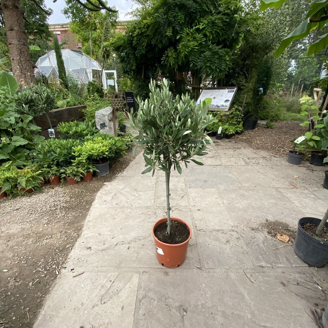 Olea europaea - Olive Tree Standards (5 sizes)