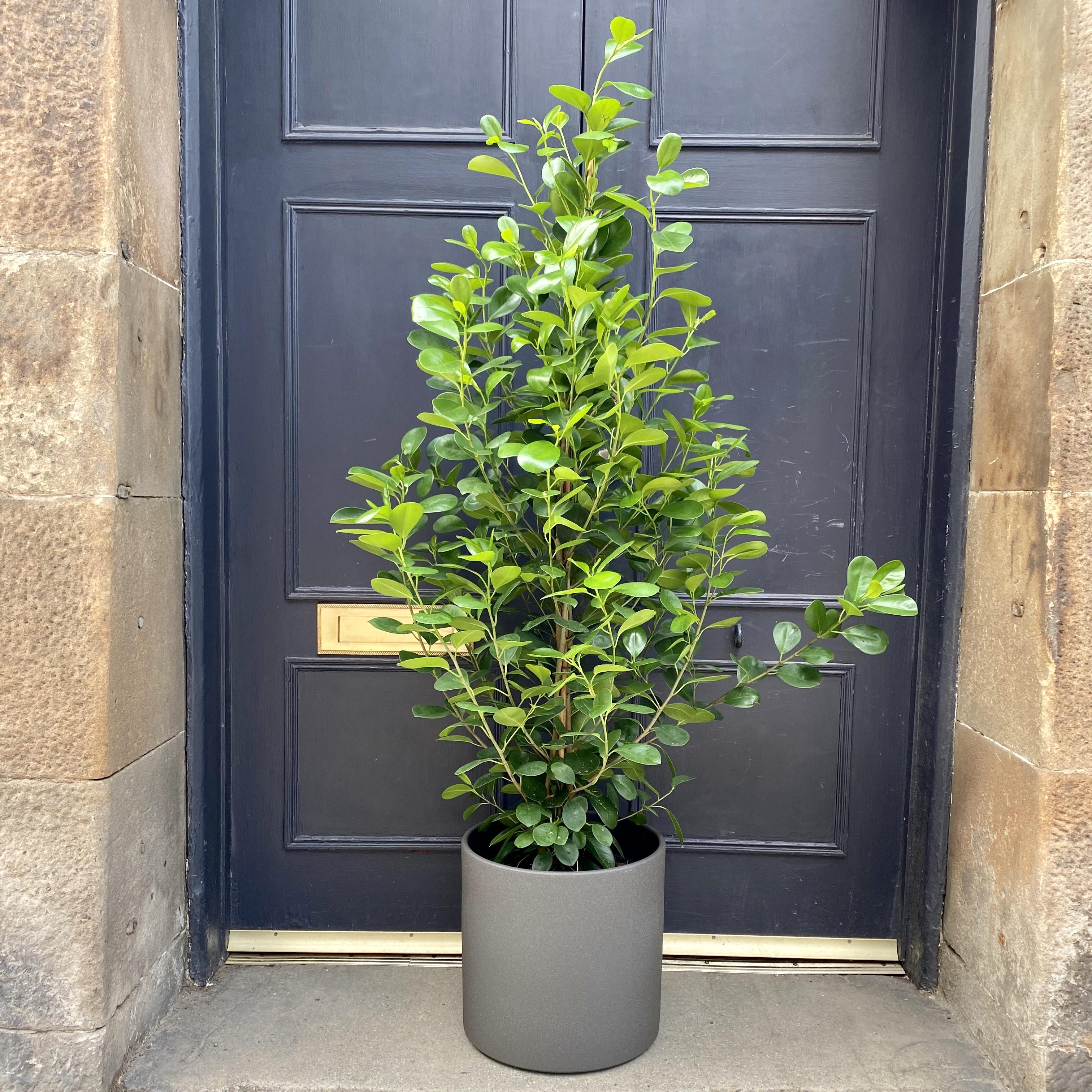 Ficus 'Moclame' (27cm pot)