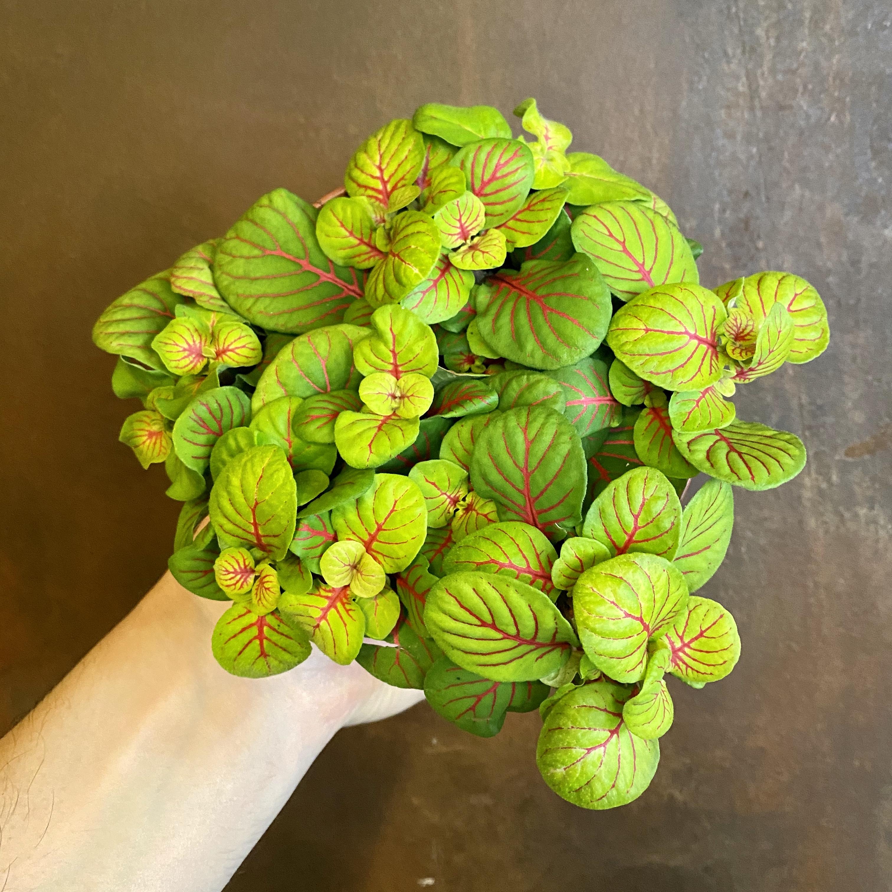 Fittonia 'Bubble Green'