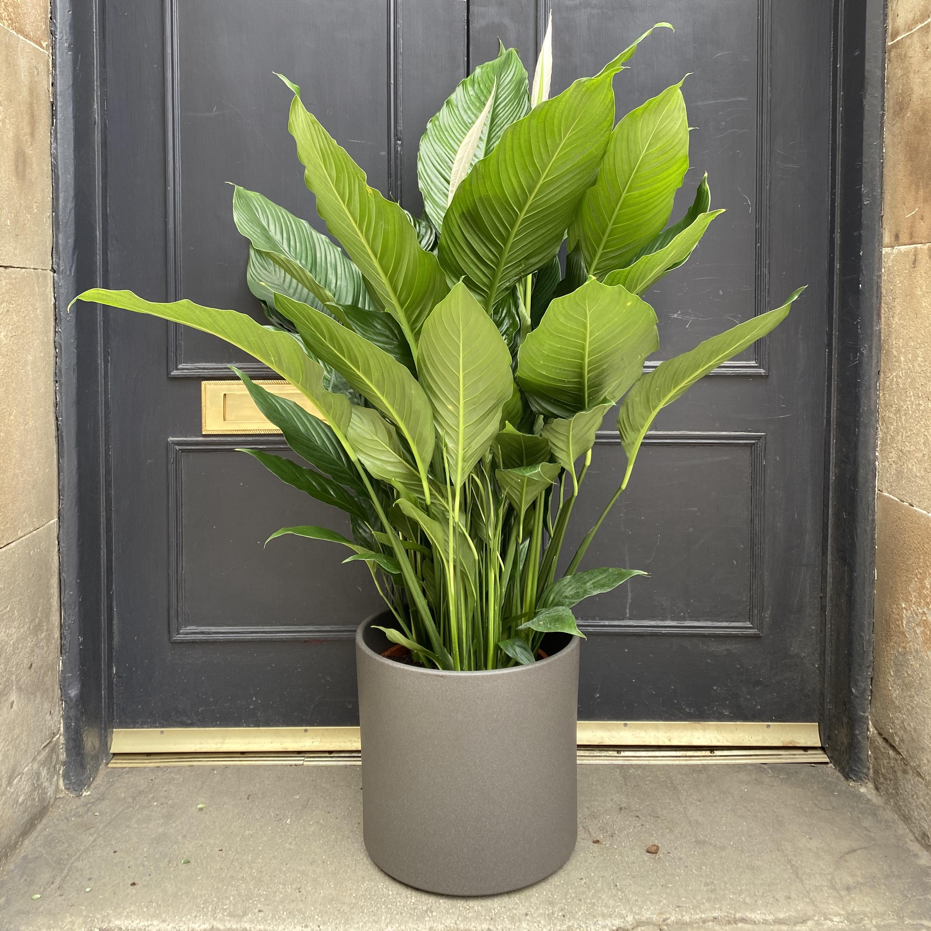 Spathiphyllum 'Sebastiano' (125cm)