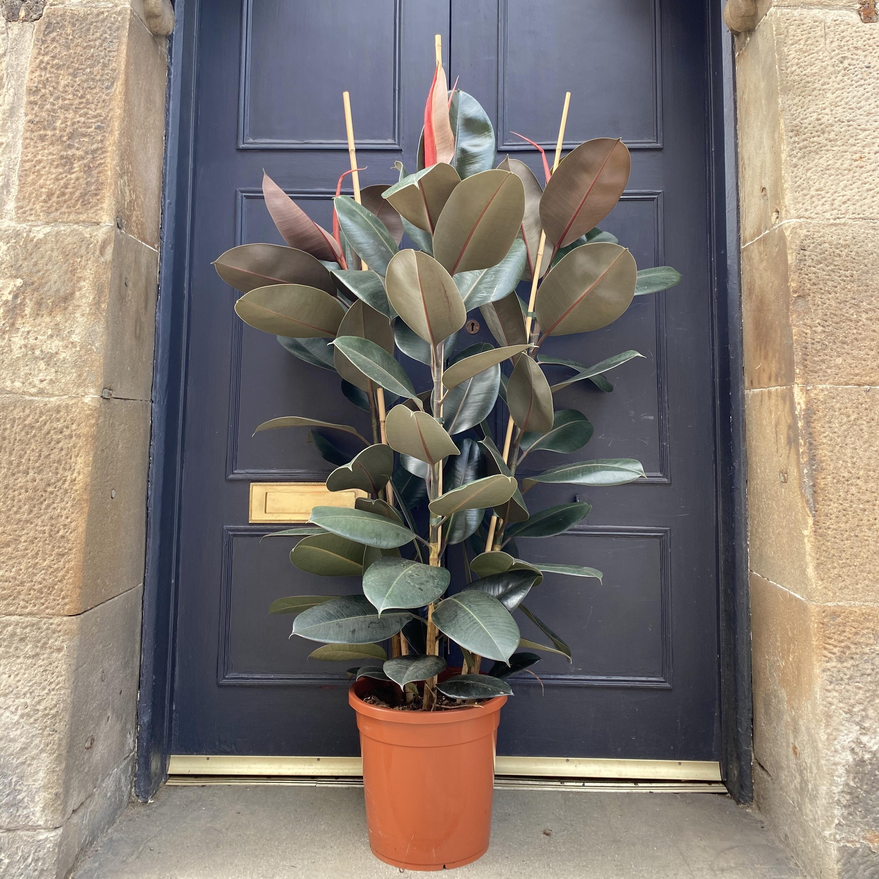 Ficus elastica 'Abidjan' (30cm pot)
