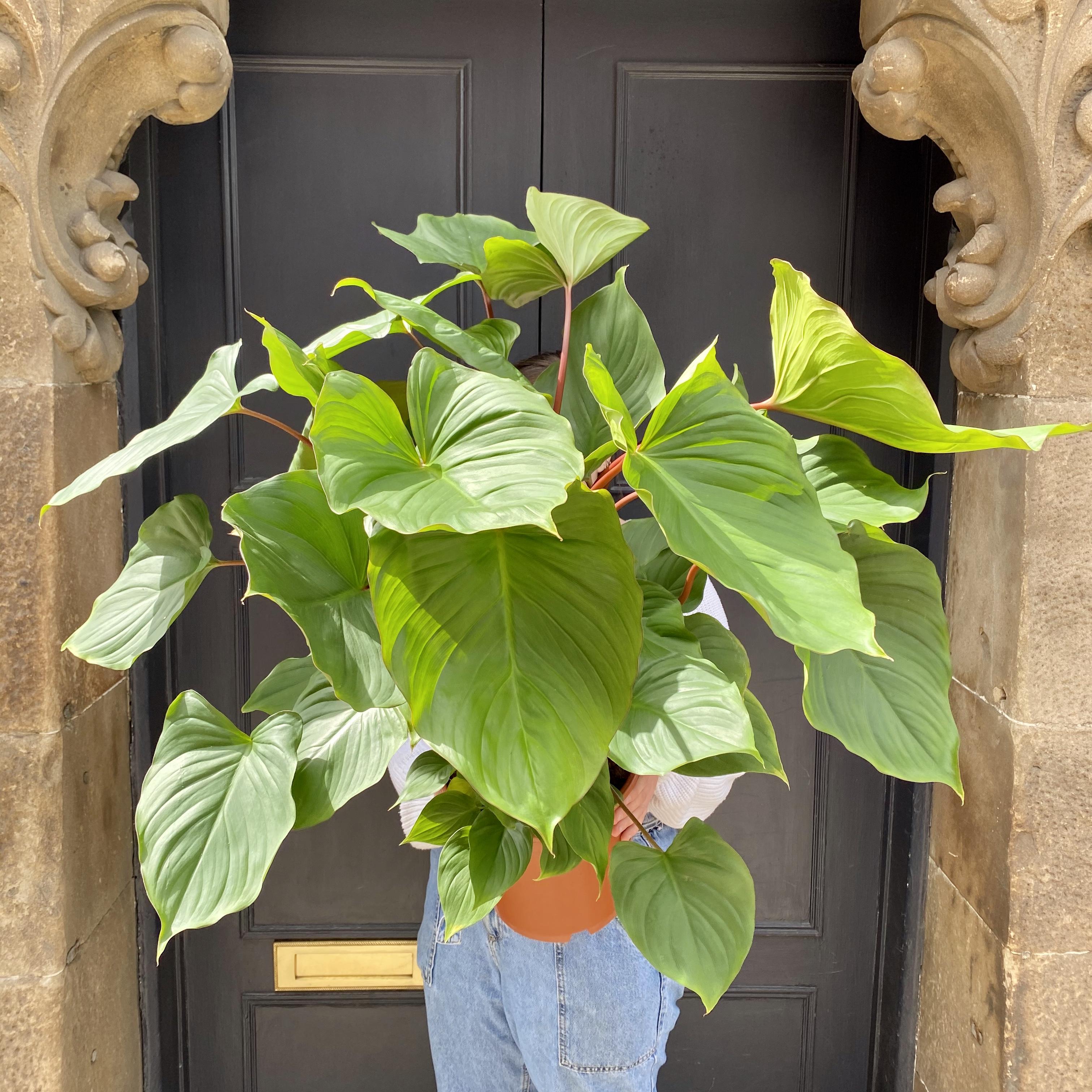 Homalomena rubescens 'Maggy' (80cm)