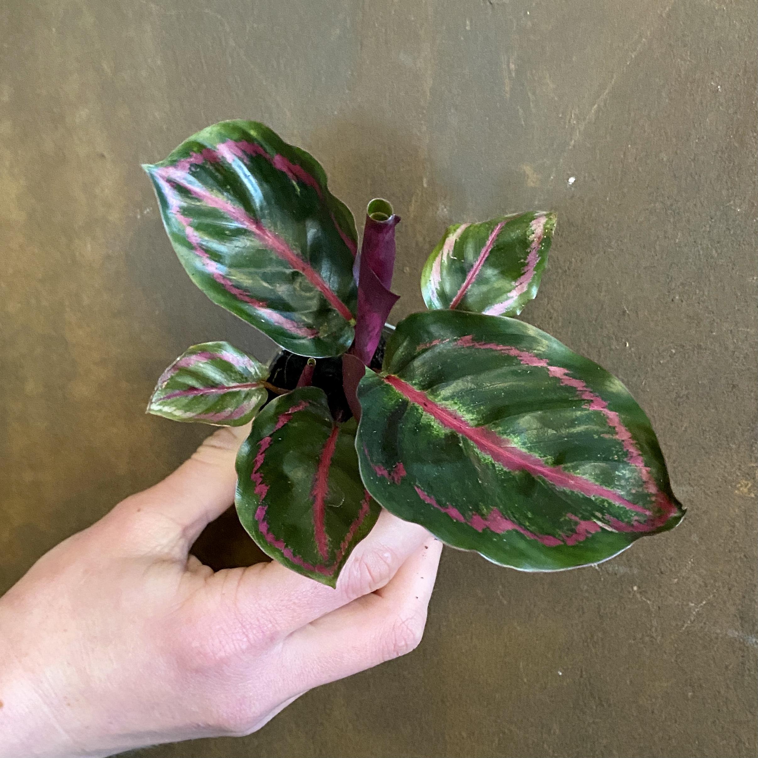 Calathea roseopicta 'Illustris' (6cm pot)