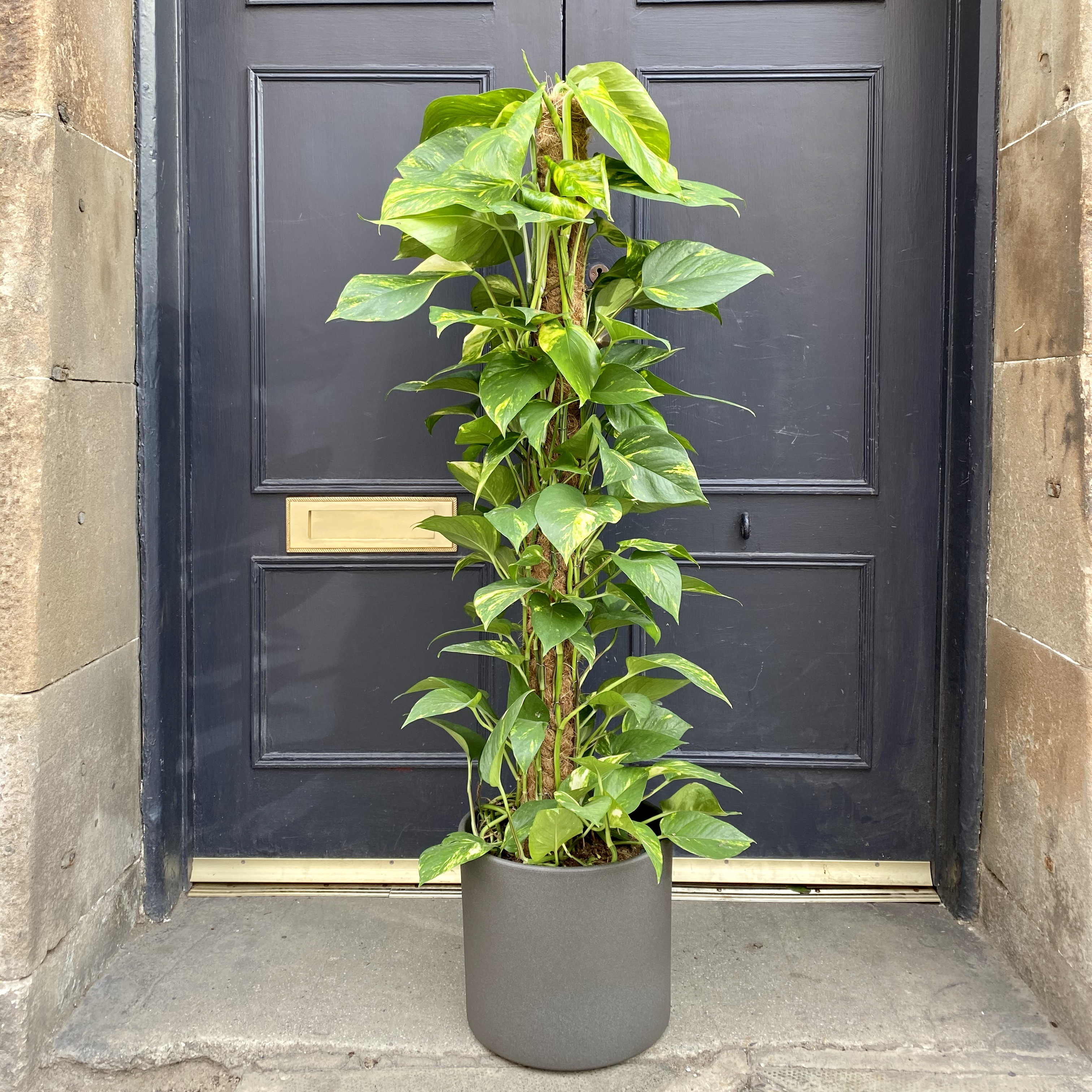 Epipremnum aureum (120cm)