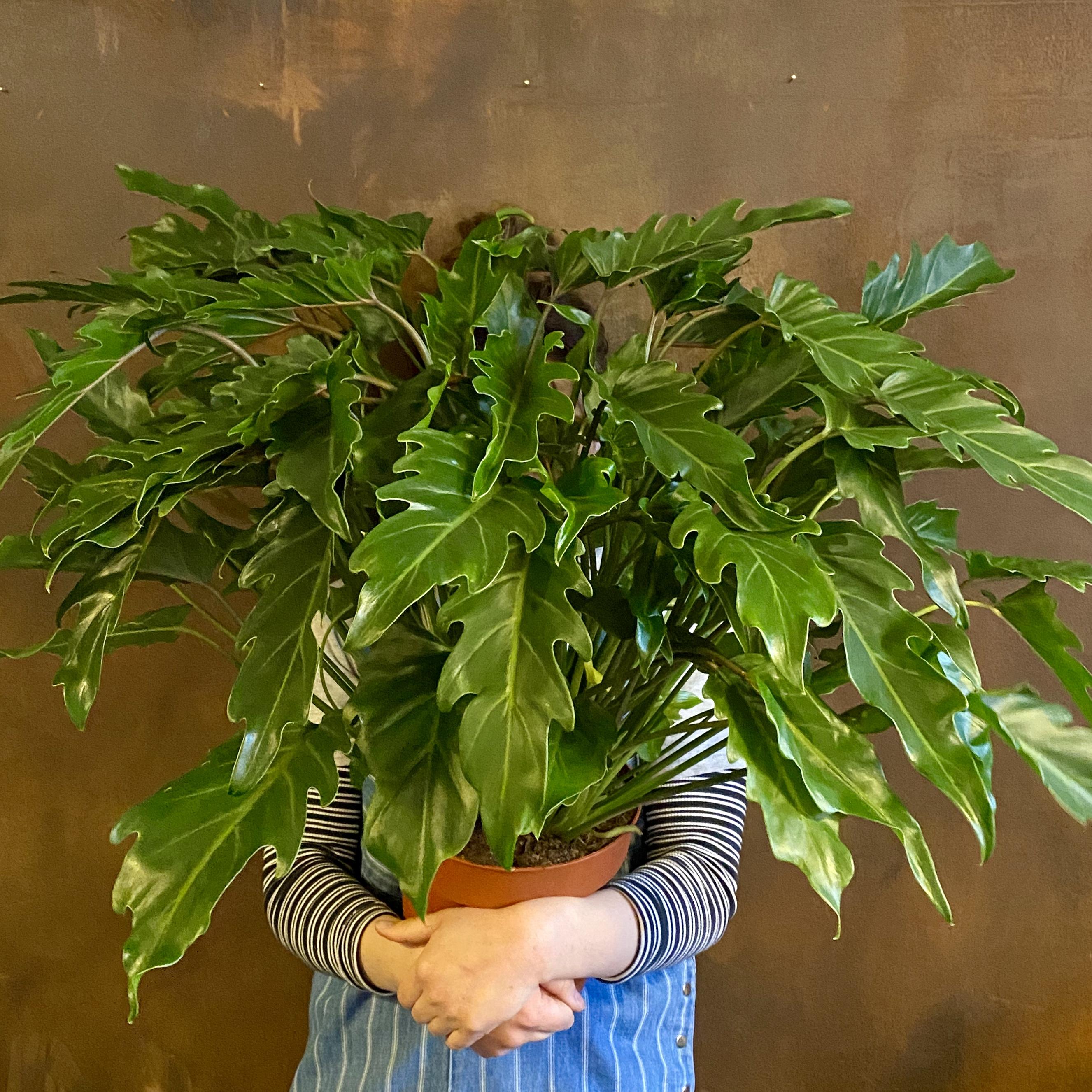 Philodendron 'Xanadu' (21cm pot)