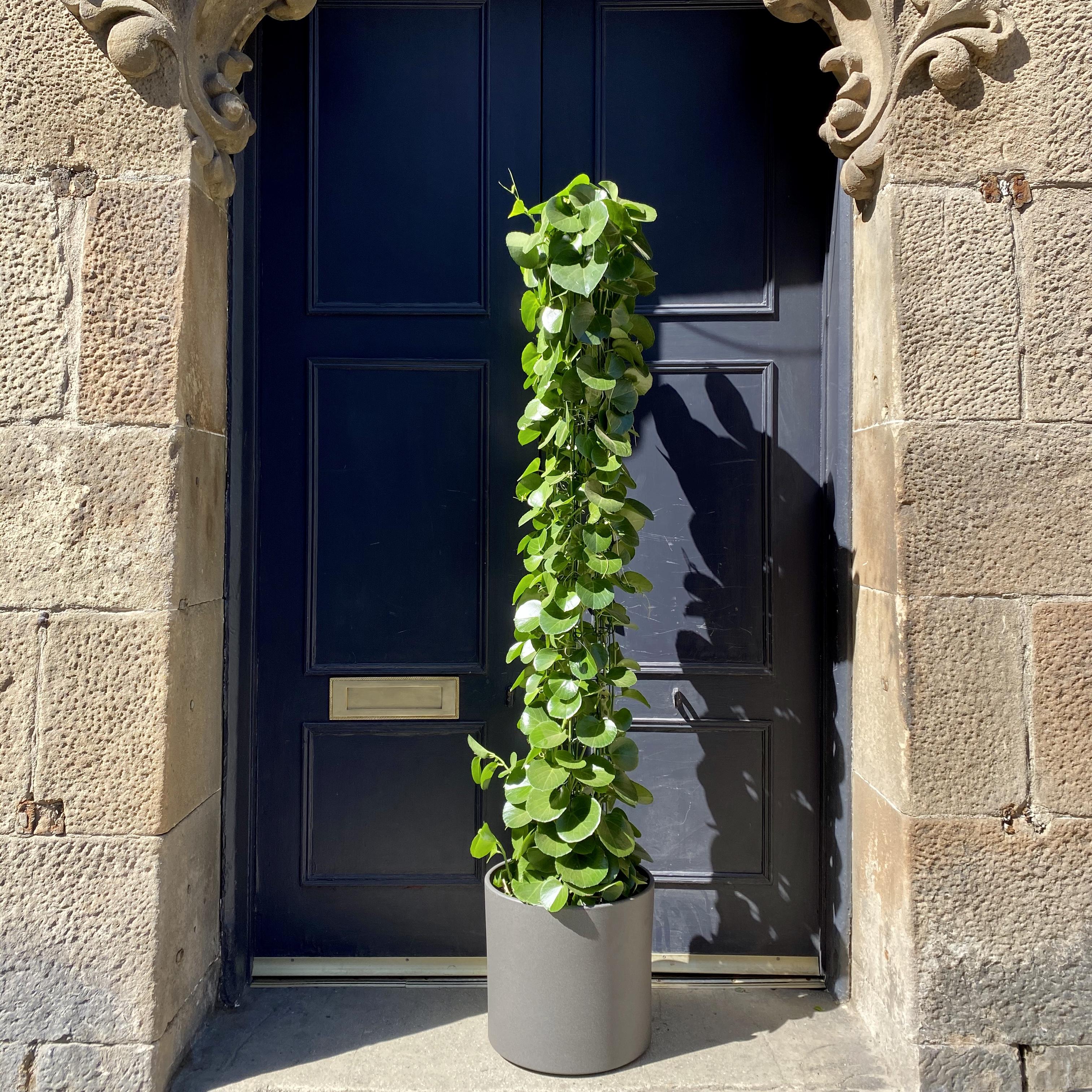 Cissus rotundifolia (170cm)