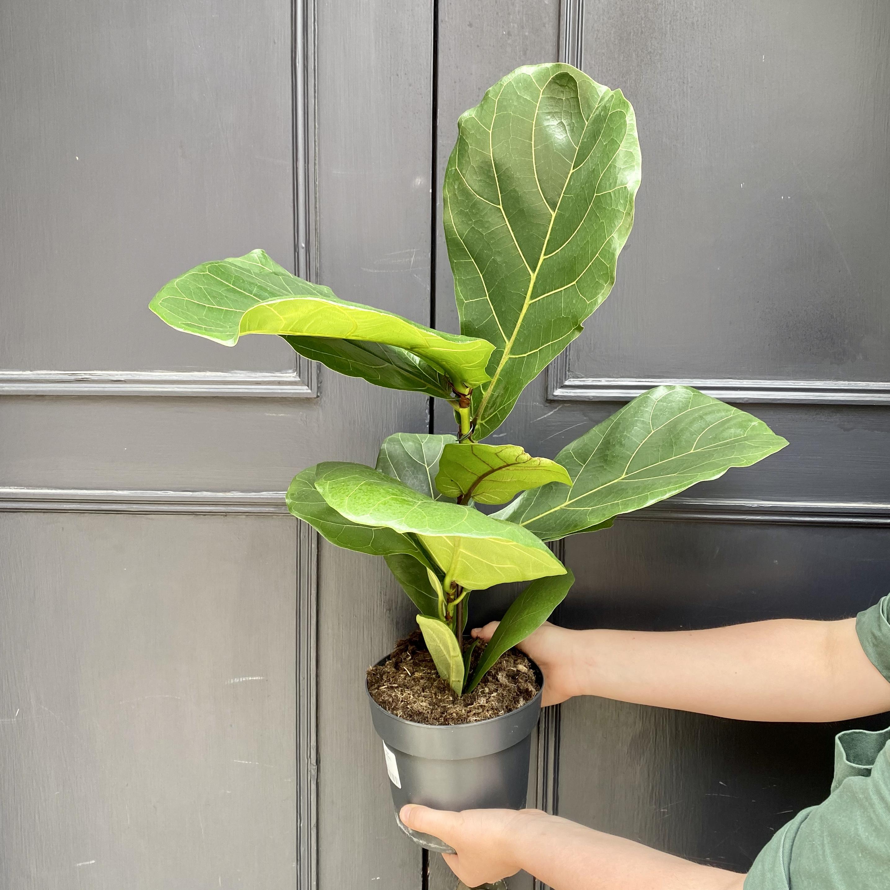 Ficus lyrata (17cm pot)