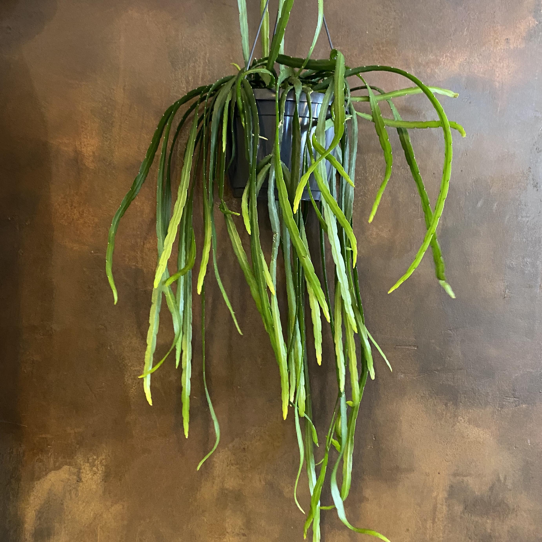 Lepismium bolivianum (18cm pot)