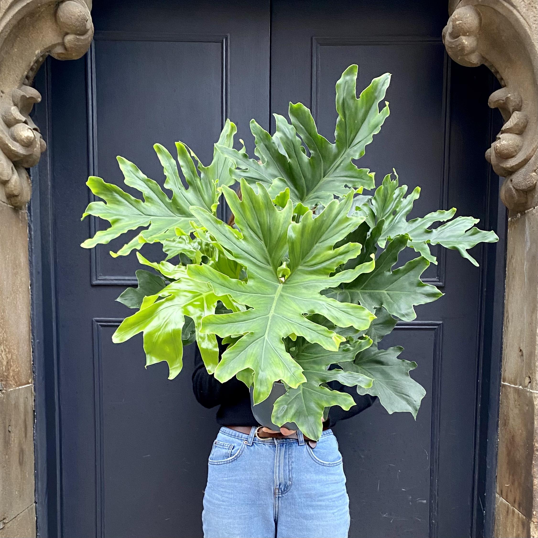 Philodendron 'Hope' (21cm pot)