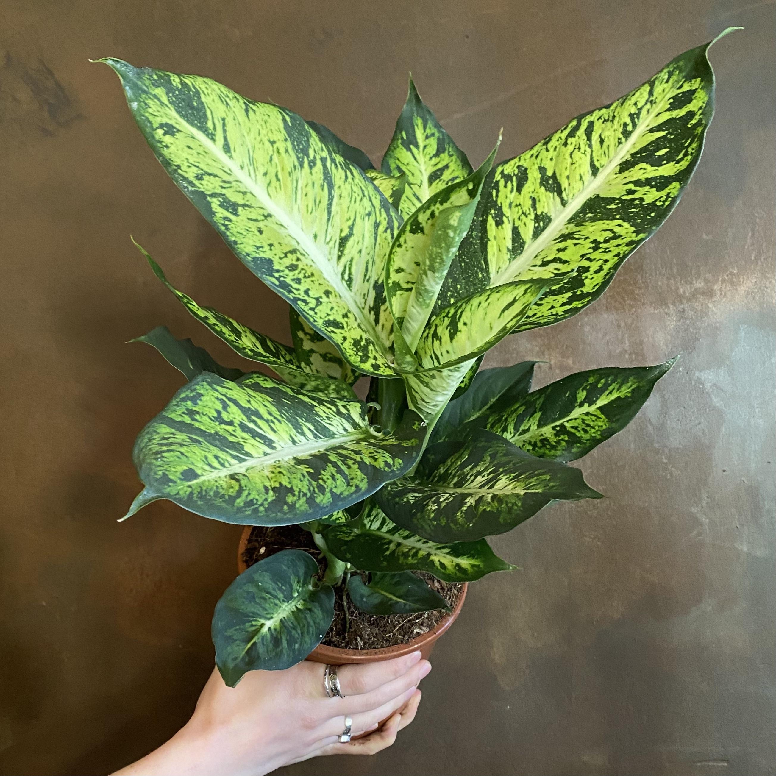 Dieffenbachia 'Sublime' (17cm pot)